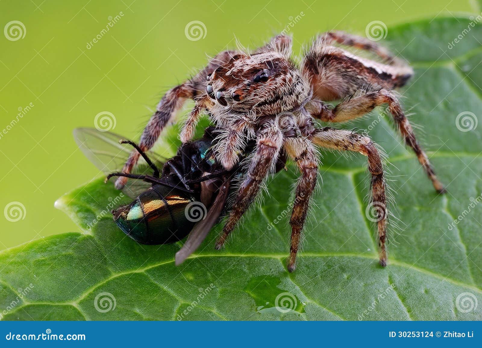 Uma aranha do salto