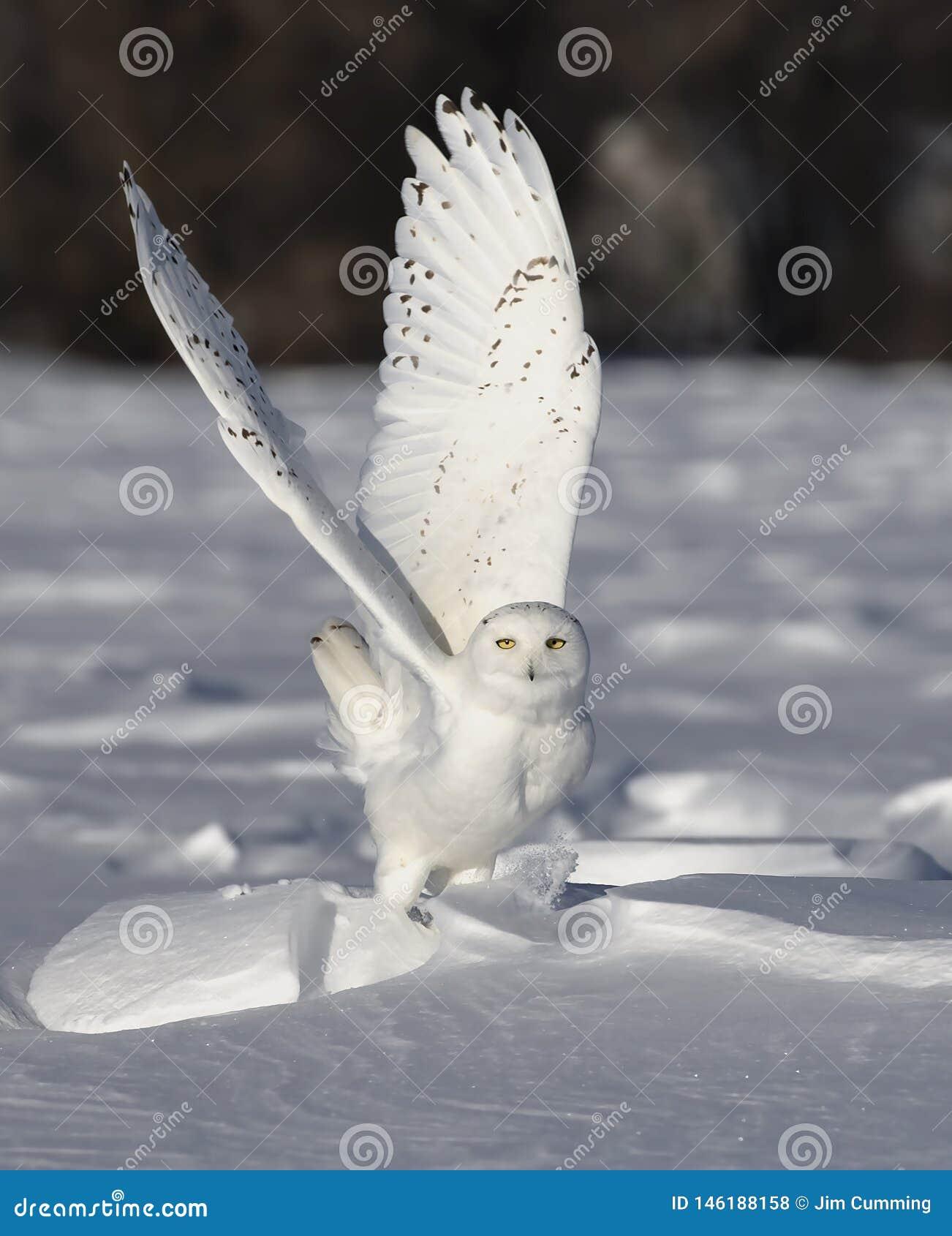 Uma baixa caça do voo nevado da descolagem da coruja sobre um campo de milho nevado ensolarado aberto em Ottawa, Canadá