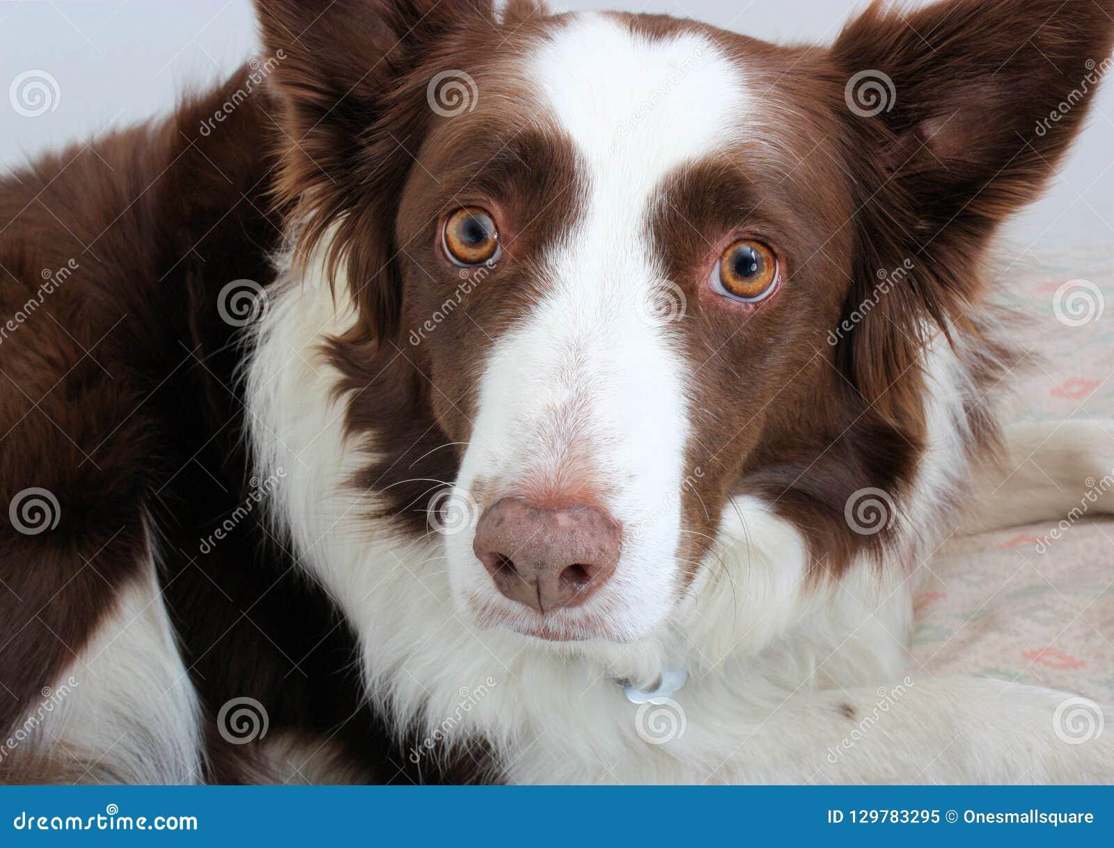 Uma beira vermelha Collie Staring na câmera