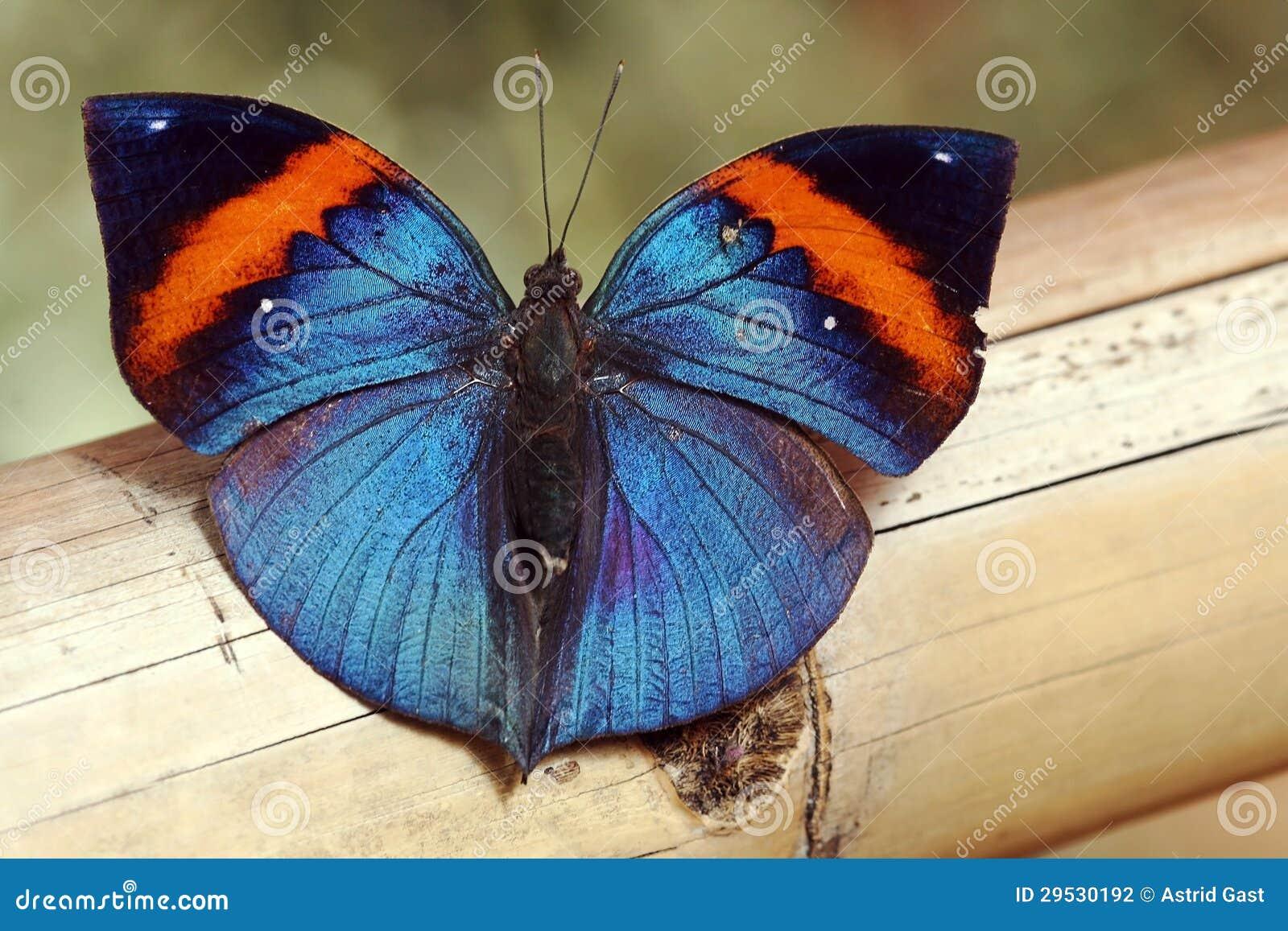 Uma borboleta azul brilhante