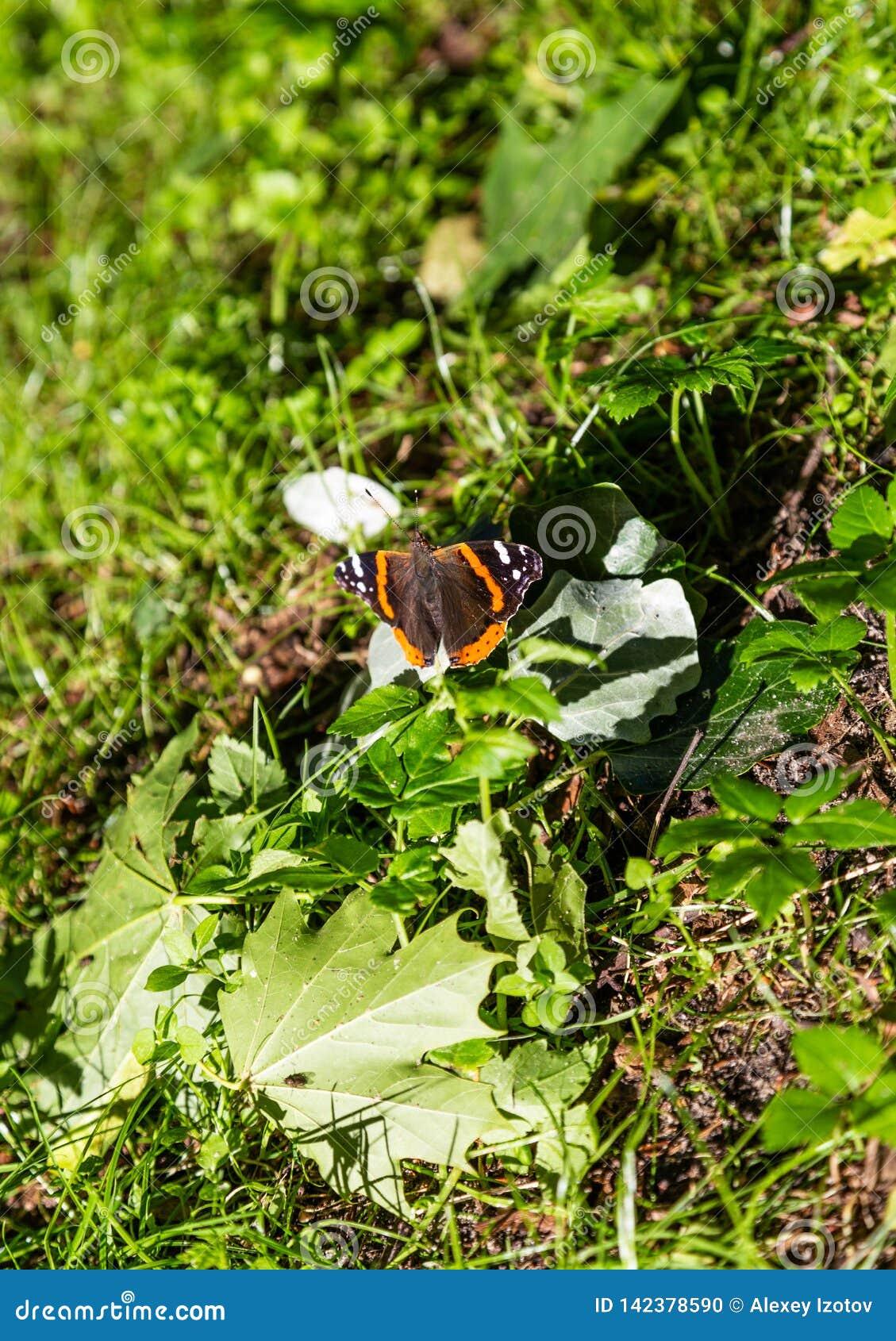 Uma borboleta bonita senta-se na grama espalhou suas asas, e foi em seguida folhas de bordo no cuspe de Curonian, Rússia
