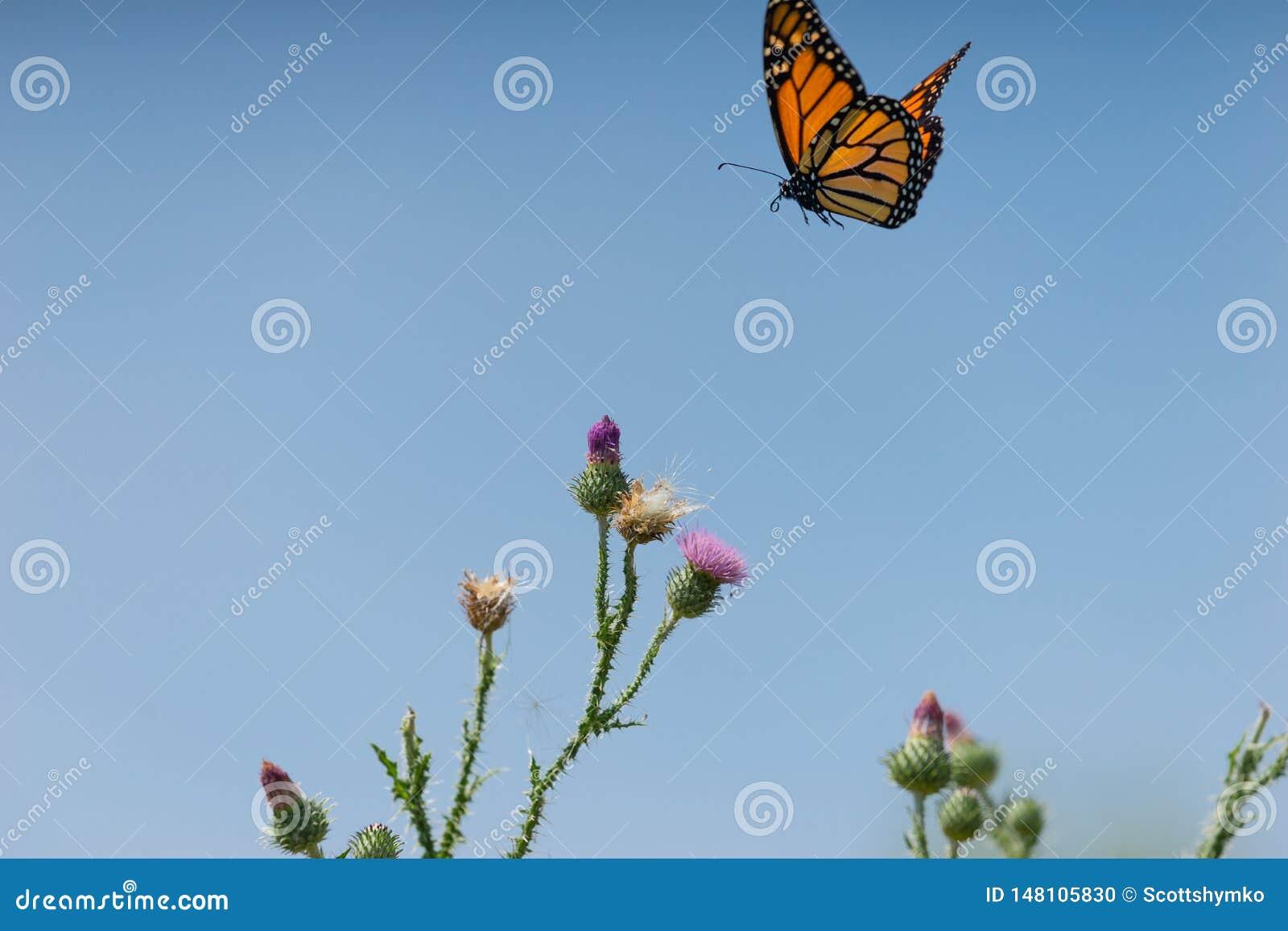 Uma borboleta de monarca voa sobre uma planta do cardo