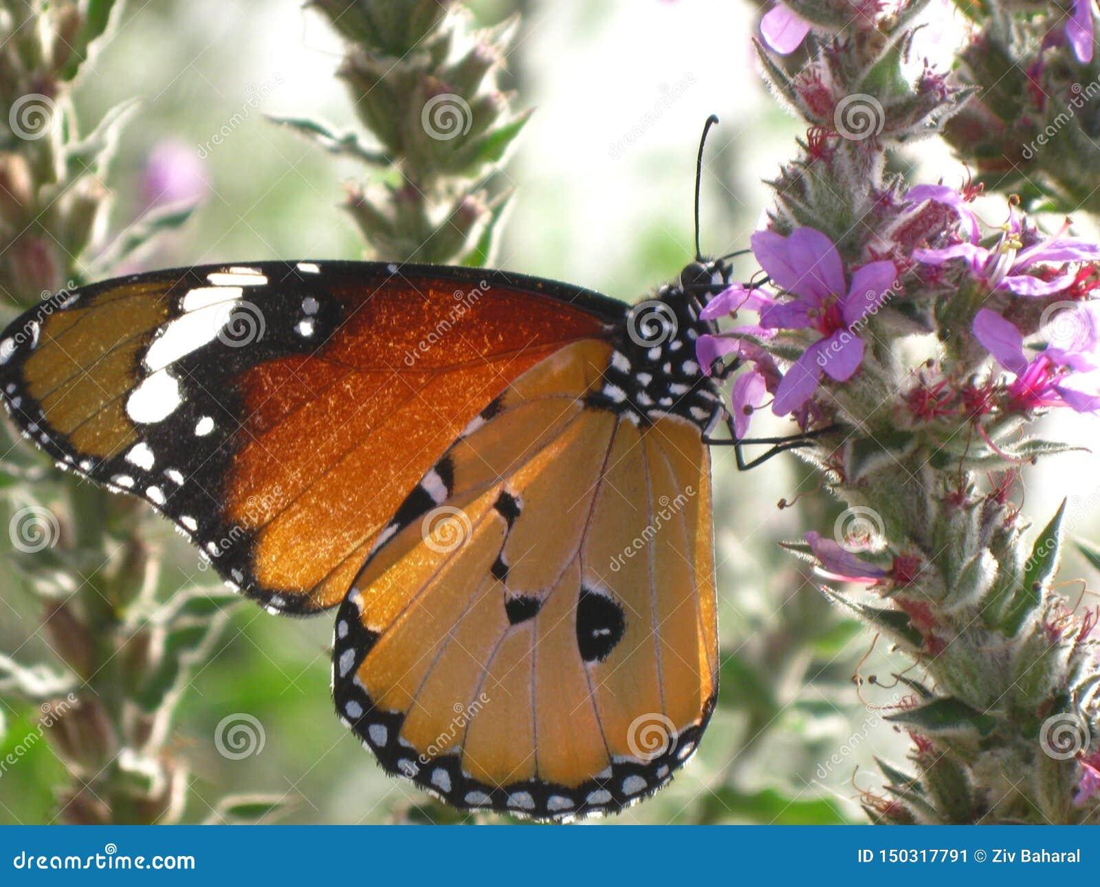 Uma borboleta do cardui de Vanessa em uma flor da mola