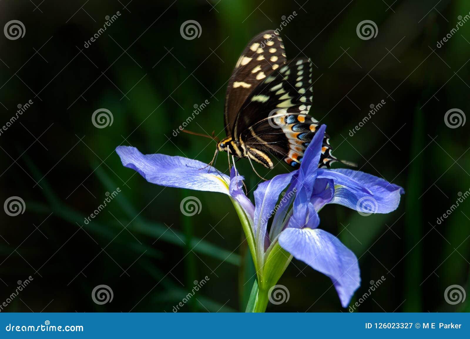 Uma borboleta oriental do swallowtail do tigre em uma íris