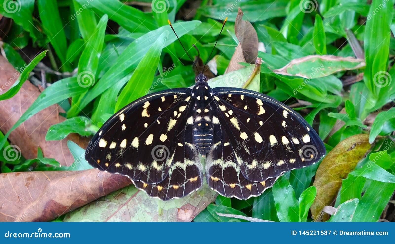 Uma borboleta que descansa na grama