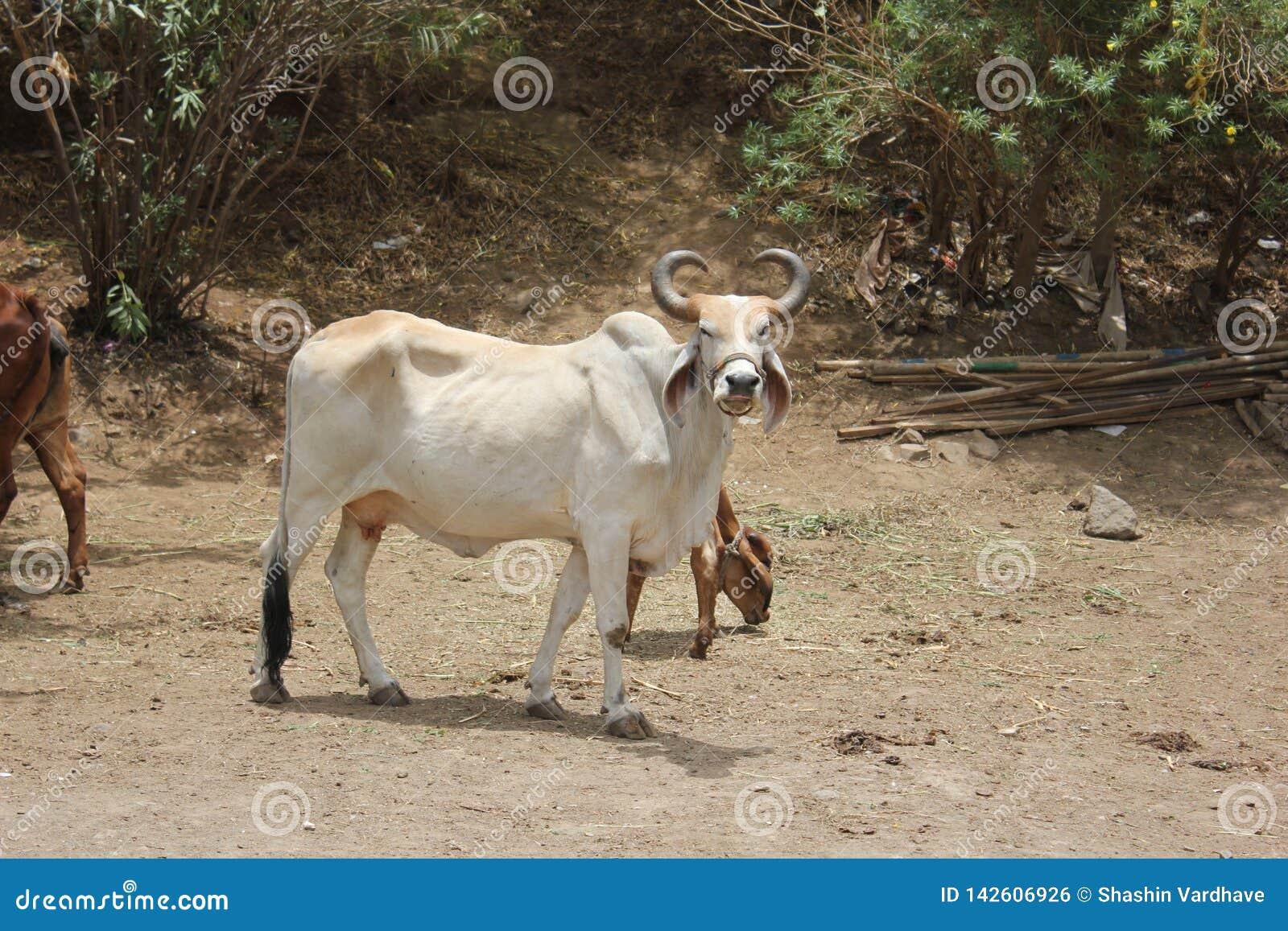 Uma Bull apenas que espera seu mestre; chamada de s