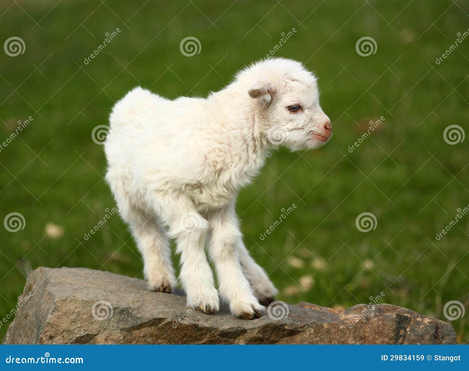 Cabra do bebê em uma rocha
