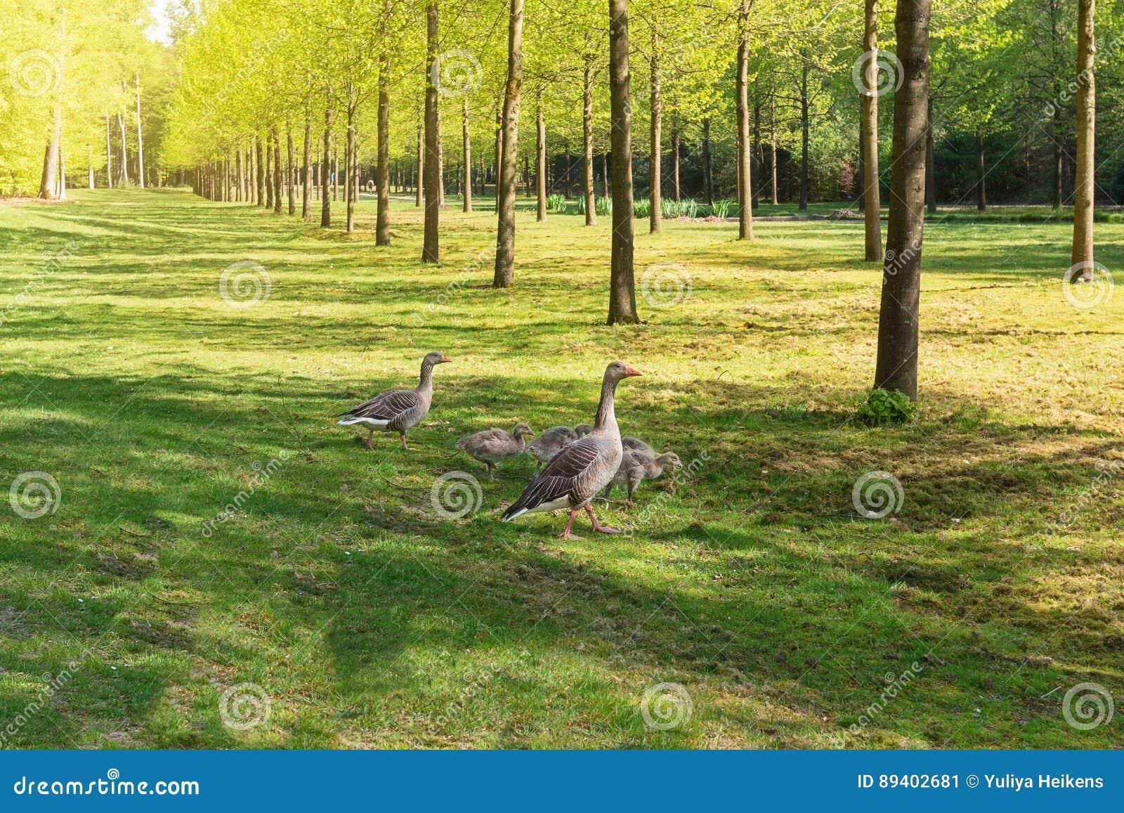 Uma caminhada no parque pela família dos gansos