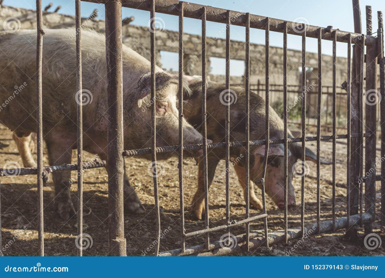Uma cerca do metal atrás que são dois porcos Fazenda de cria??o Ind?stria da carne Conceito dos direitos de animais