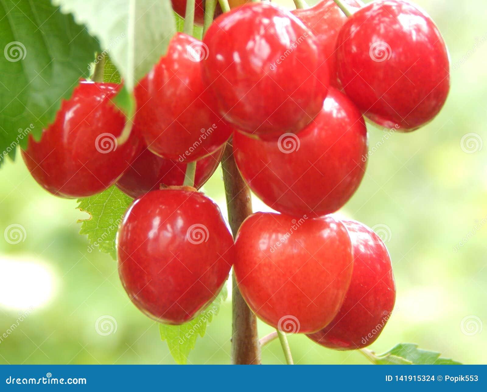 Uma cereja doce da grande, baga vermelha amadurecida e operacional