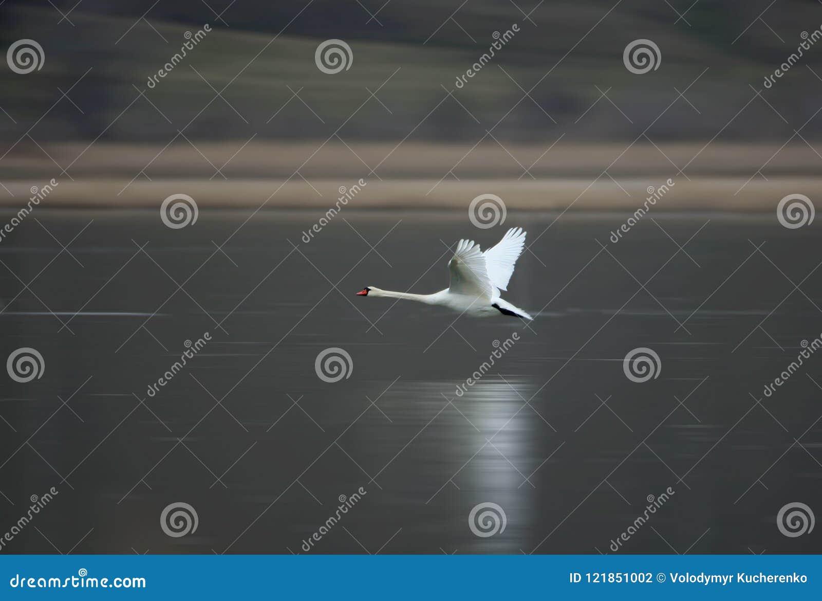 Uma cisne branca voa rapidamente sobre a água congelada