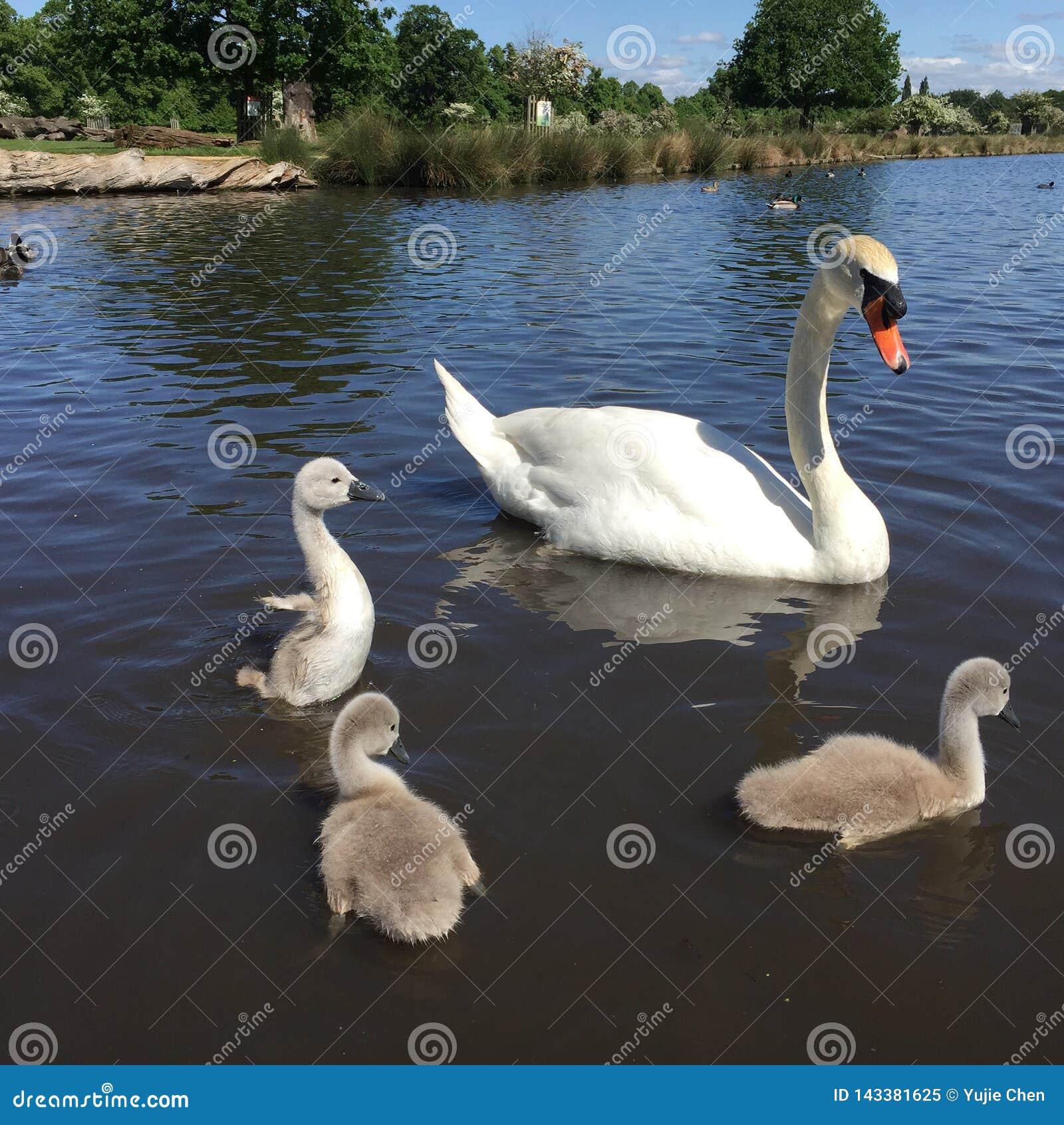 Uma cisne e três cisnes novos