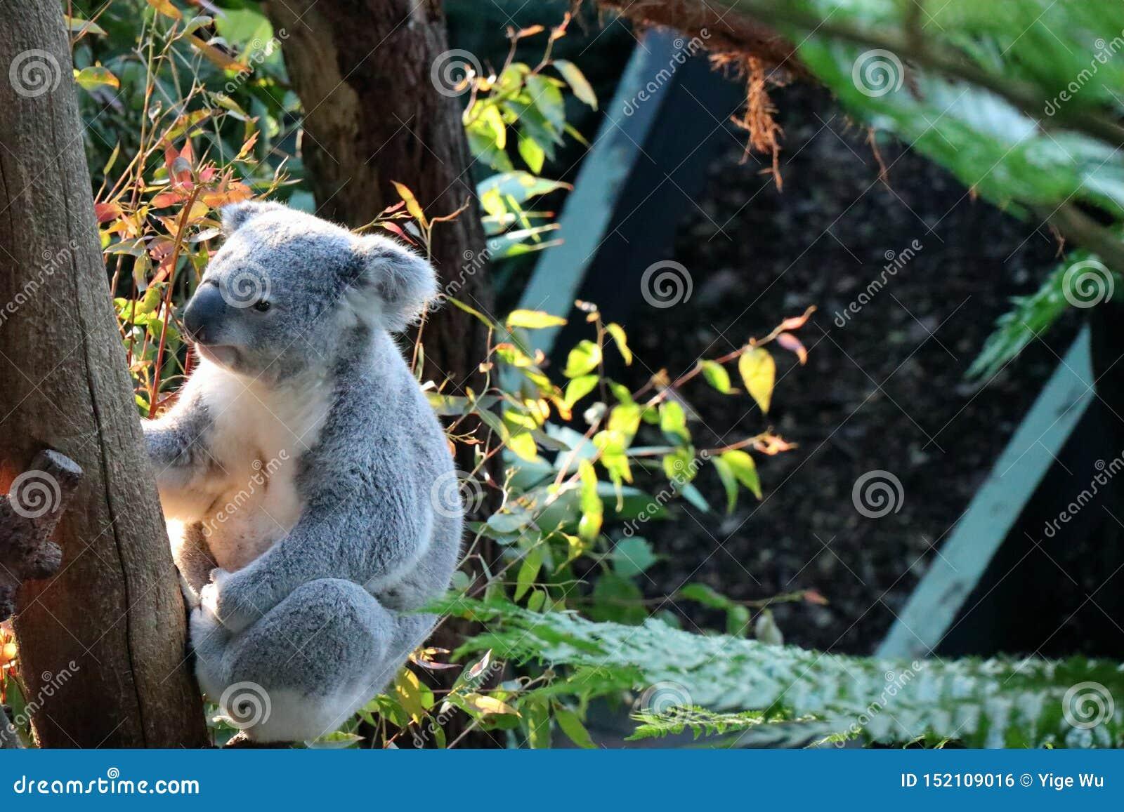 Uma coala no jardim zoológico Sydney de Tazonga