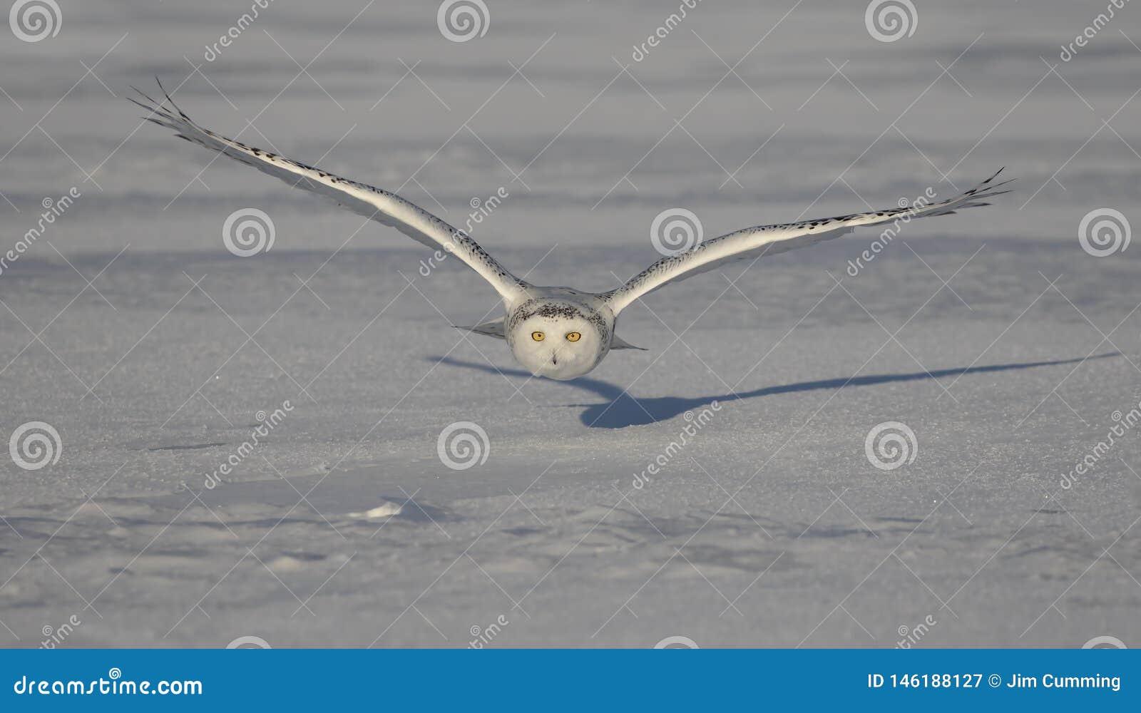 Uma coruja nevado voa a baixa ca?a sobre um campo de milho nevado ensolarado aberto em Ottawa, Canad?
