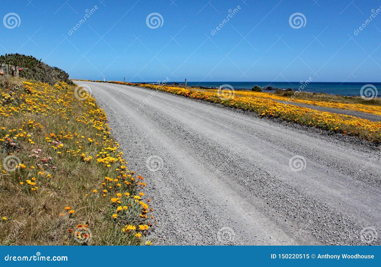Uma estrada abandonada com as flores amarelas brilhantes de cada lado passa perto do oceano no cabo Palliser, ilha norte, Nova Ze