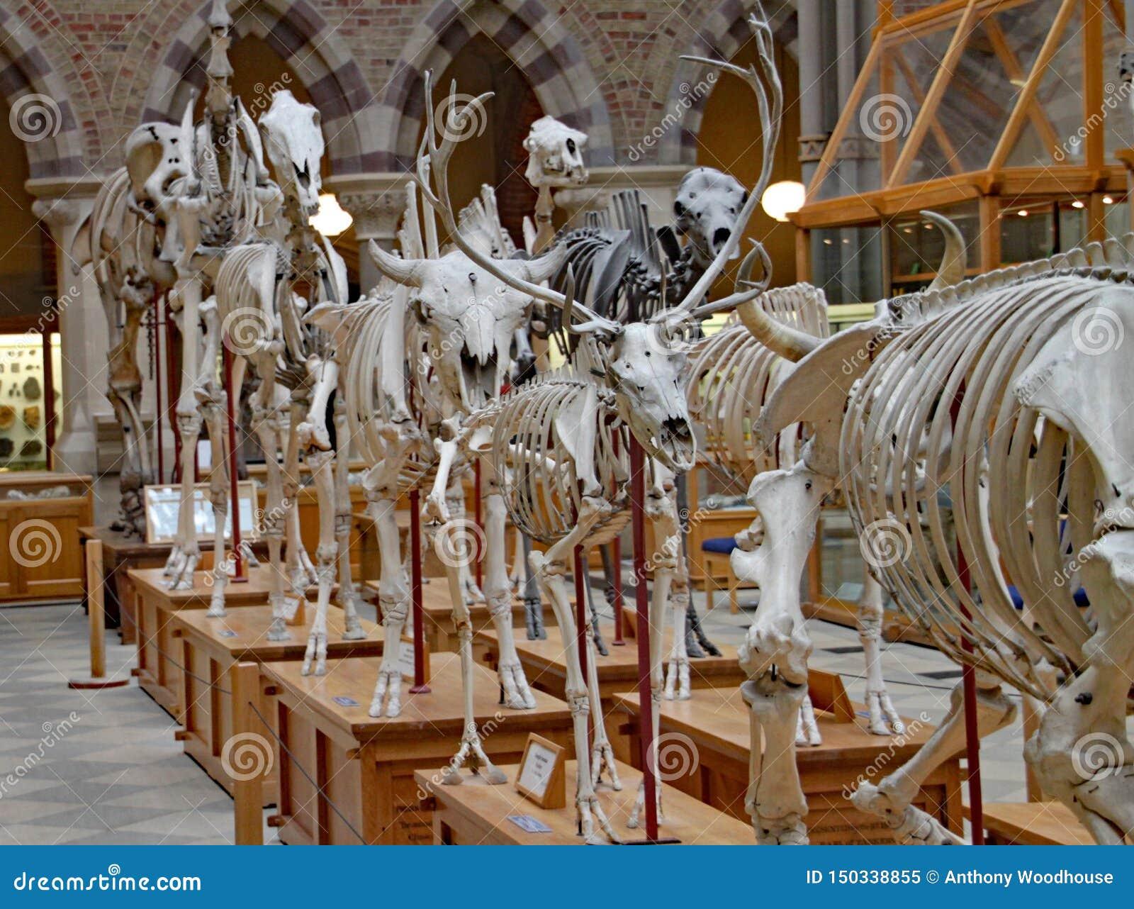 Uma exposição dos esqueletos de animais extintos no museu da história natural de Oxford