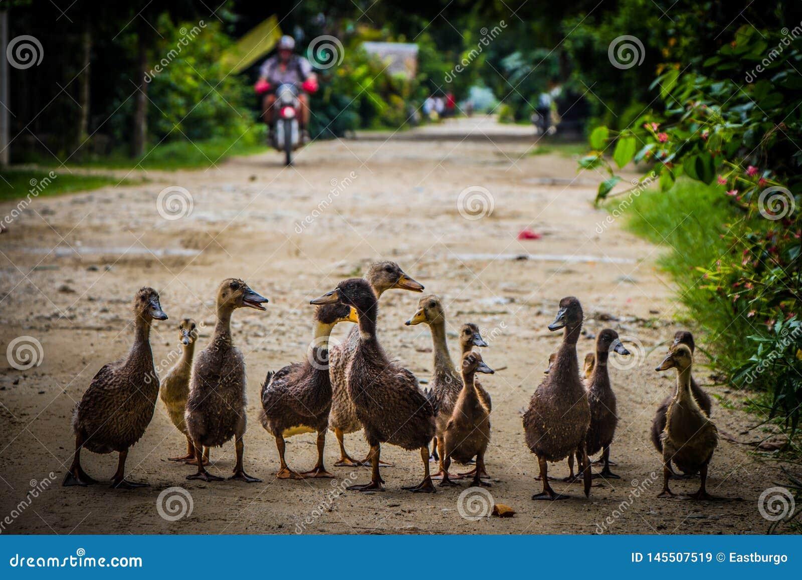 Uma fam?lia dos patos toma uma caminhada