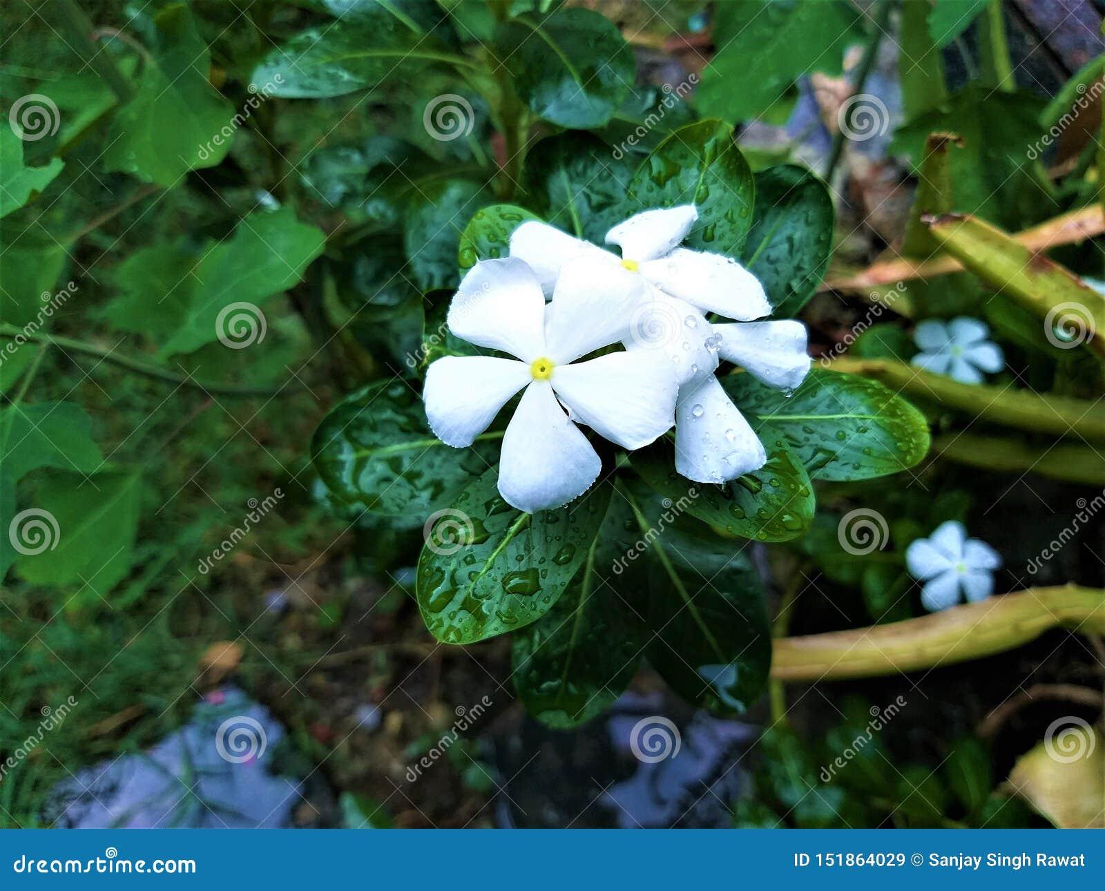 Uma flor branca bonita & umas folhas esverdeados de Waterdrop