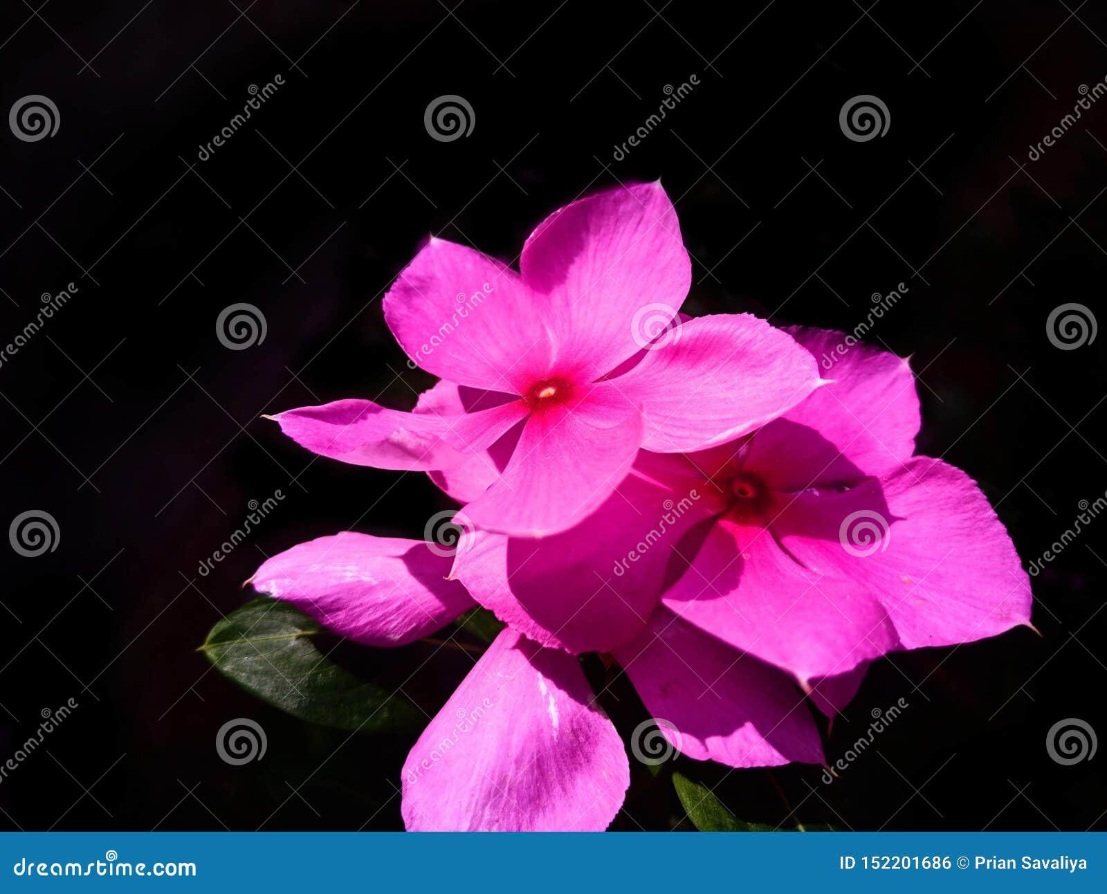 Uma flor cor-de-rosa bonita na luz ensolarada