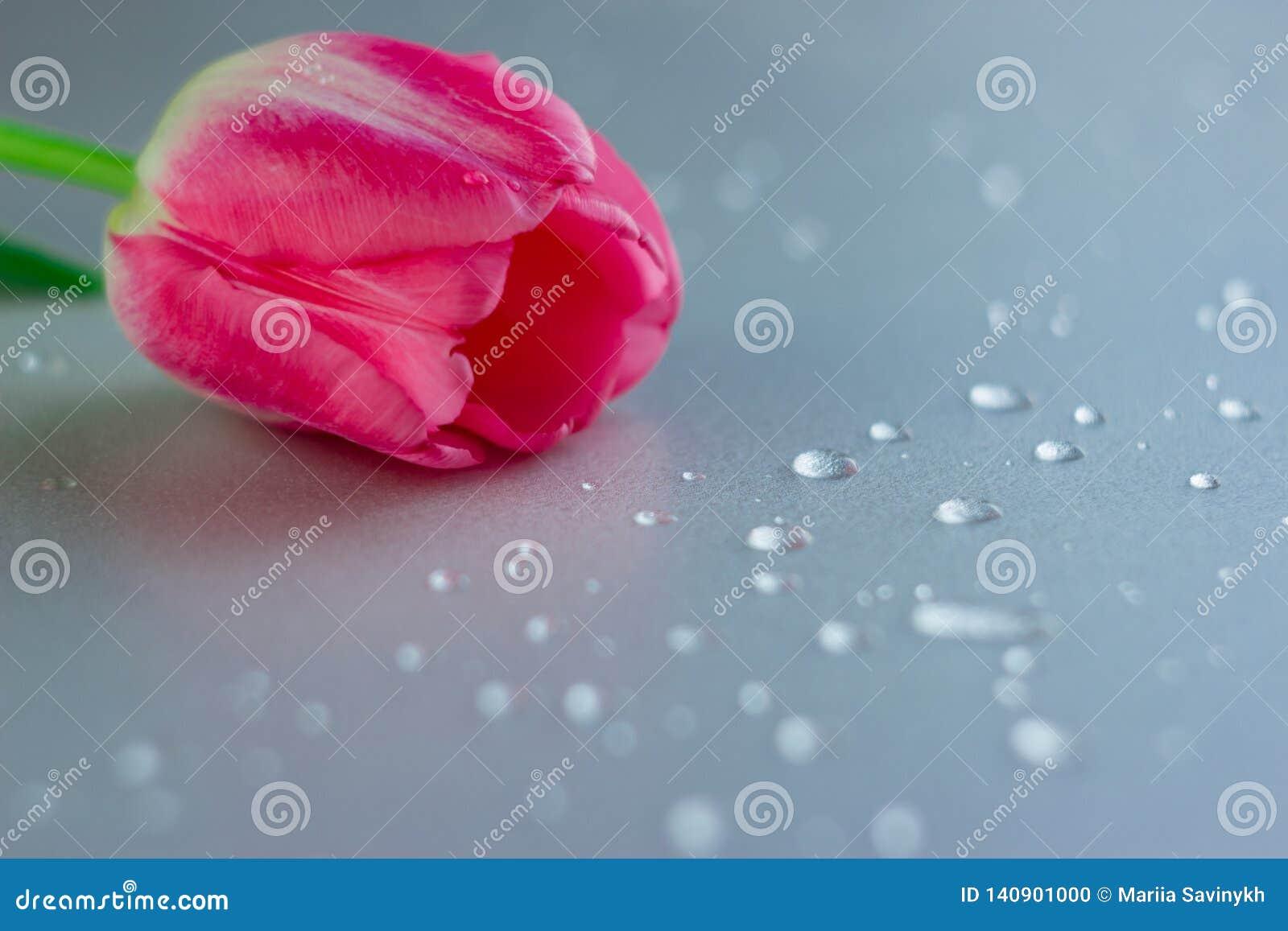Uma flor cor-de-rosa da tulipa no fundo neutro cinzento com waterdrops Copie o espaço Mulheres, mães, Valentim