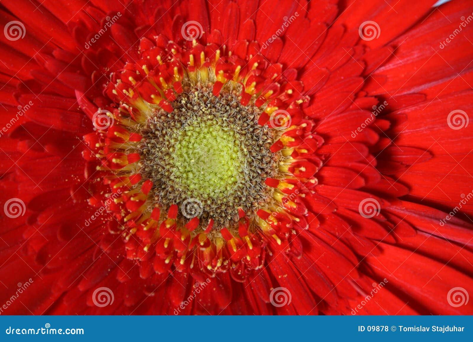 Uma flor de Gerber