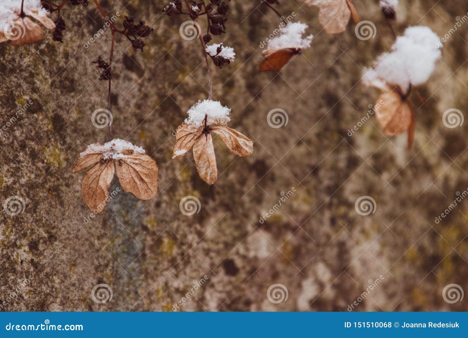 Uma flor delicada murcho no jardim em um dia gelado frio durante a neve branca de queda
