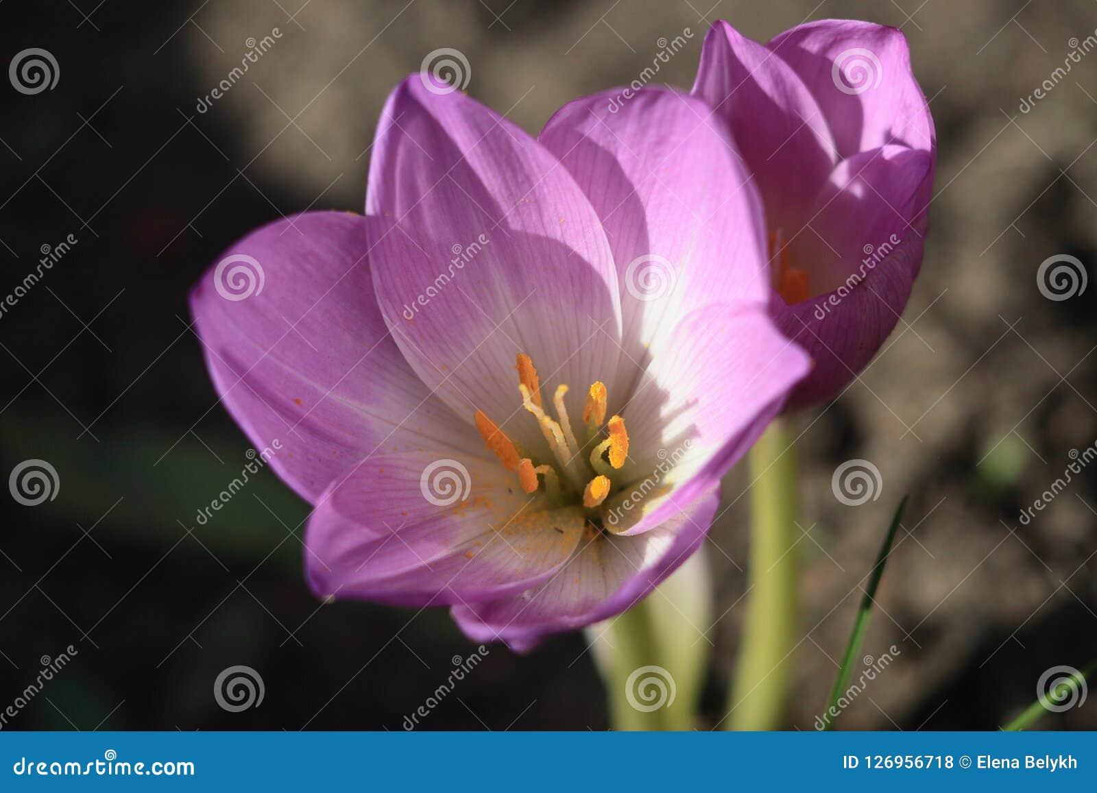 Uma flor do açafrão de prado do outono