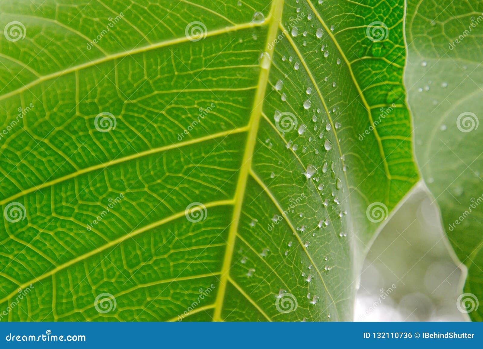 Nossas por verde que cor veias de são