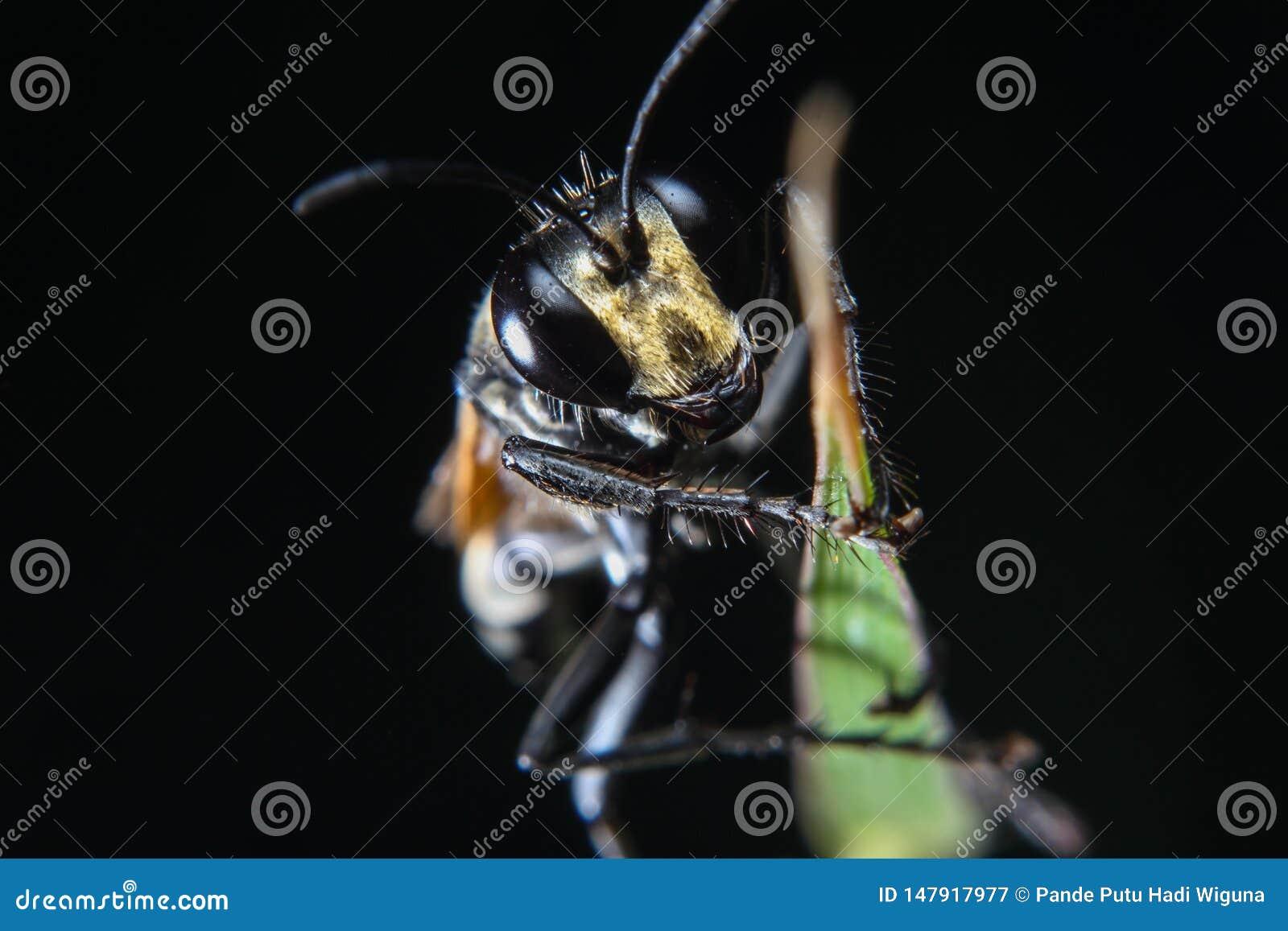 Uma foto macro do inseto da abelha preta na folha verde com fundo preto isolado