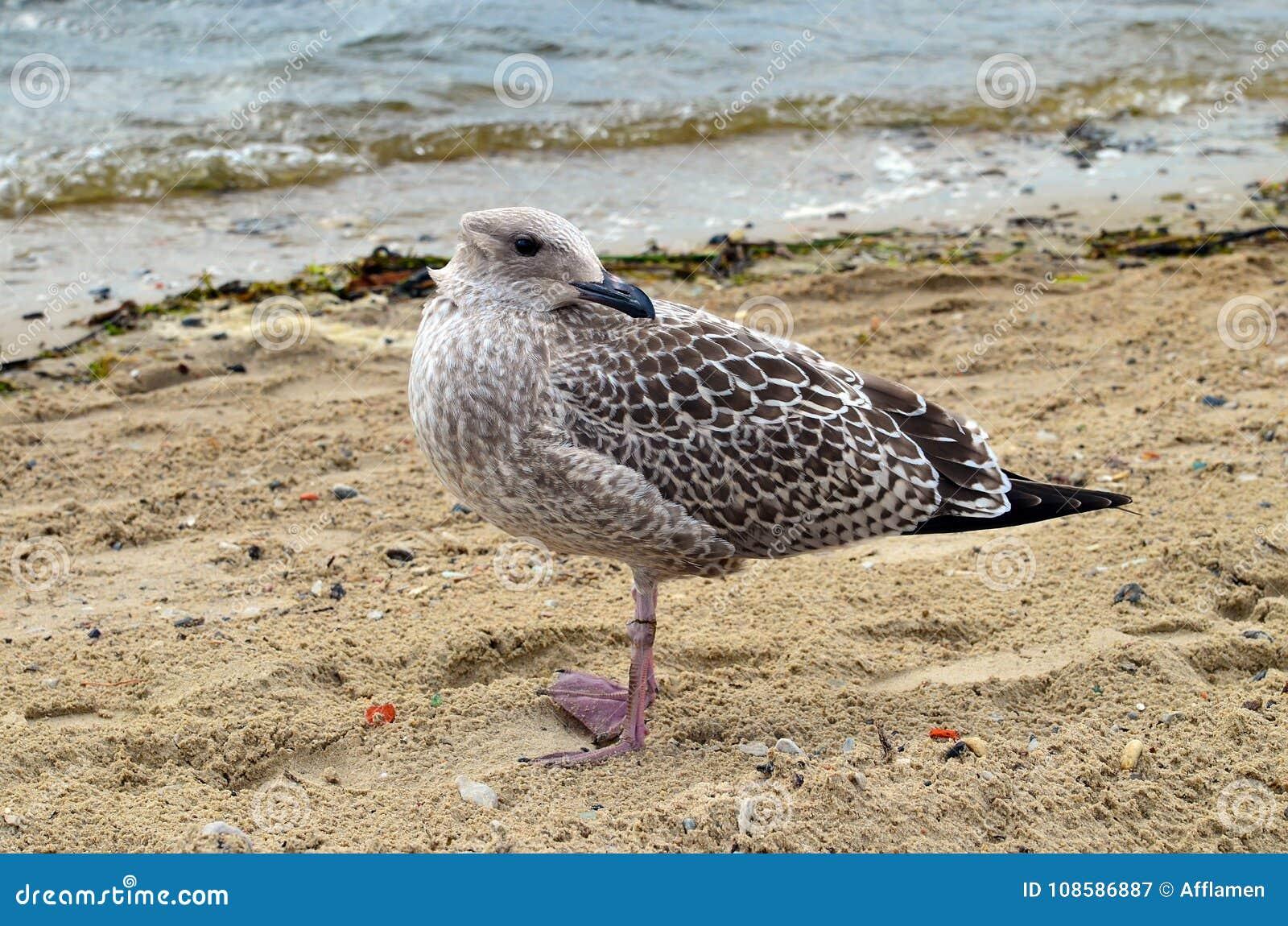 Uma gaivota OM que o litoral com sua cabeça girou para trás