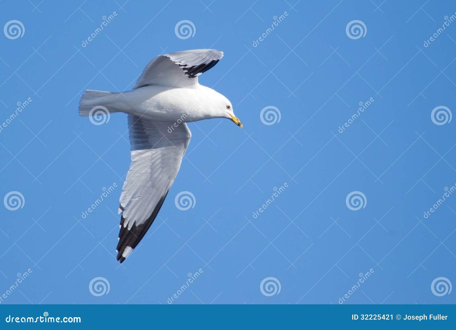Download Uma Gaivota, Subindo No Céu Azul Imagem de Stock - Imagem de espalhar, soar: 32225421