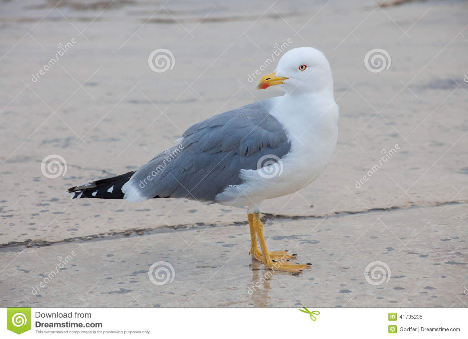 Uma gaivota, vista lateral, olhando para trás