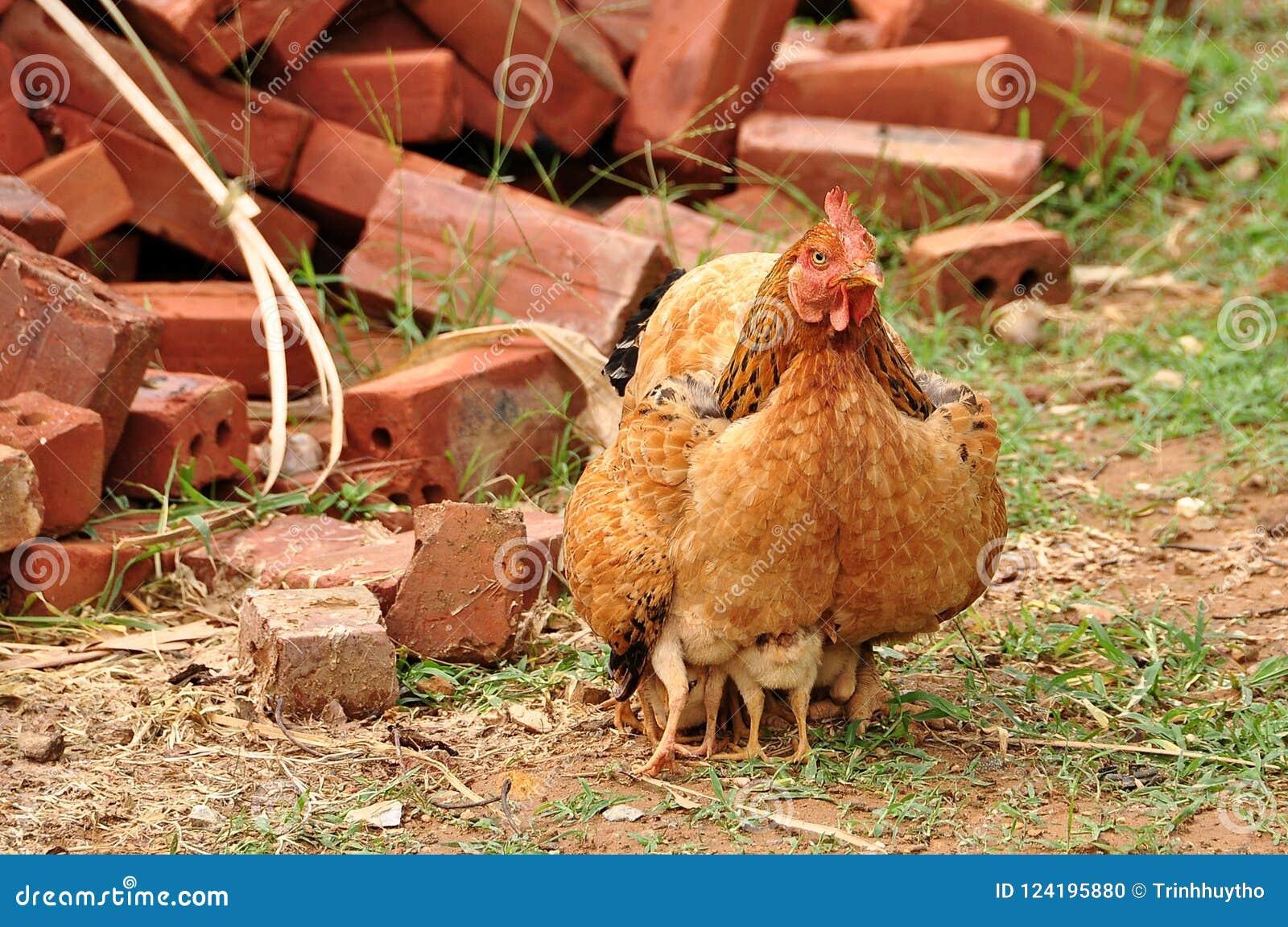 Uma galinha está protegendo suas crianças