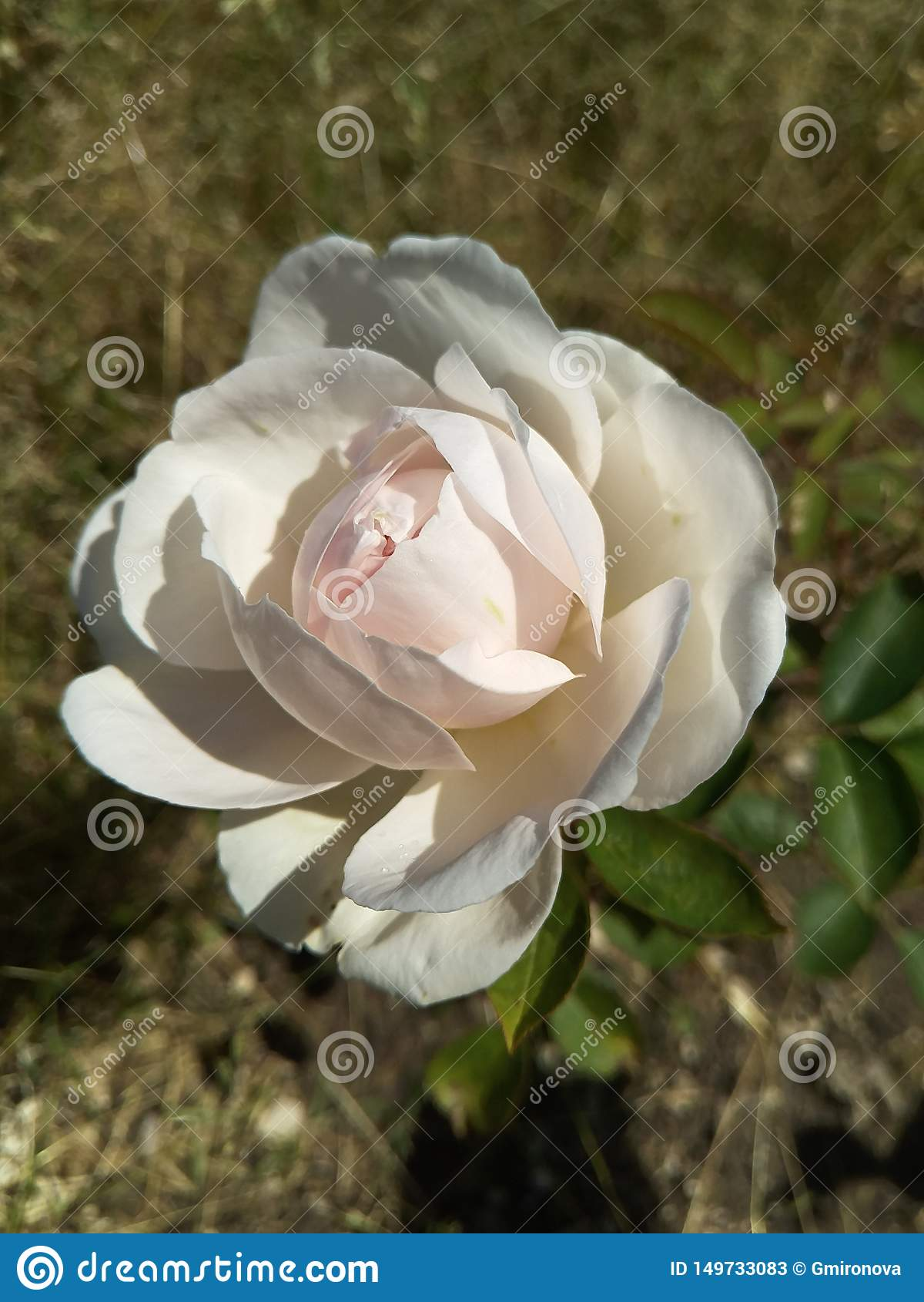Uma grande rosa metade-florescida de máscaras amarelas e cor-de-rosa delicadas com sombras nas pétalas fundo natural borrado marr