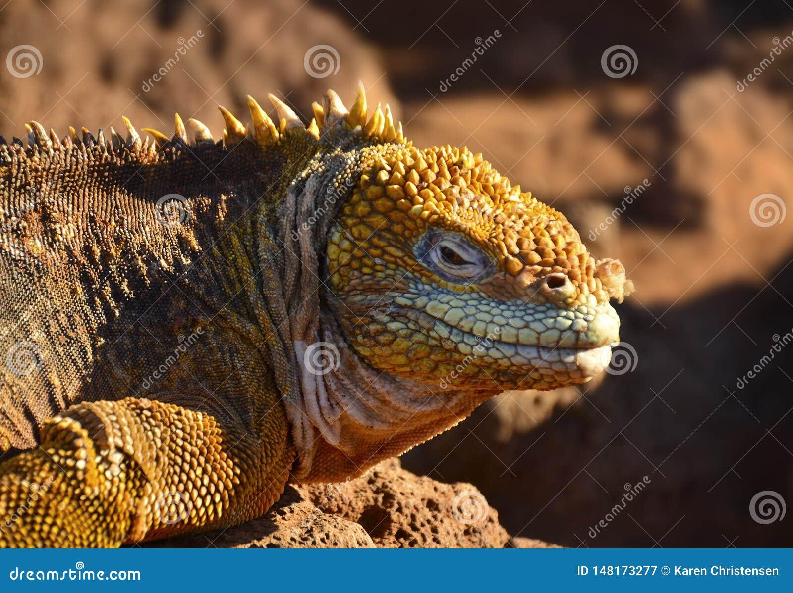 Uma iguana expõe-se ao sol na ilha de Galápagos