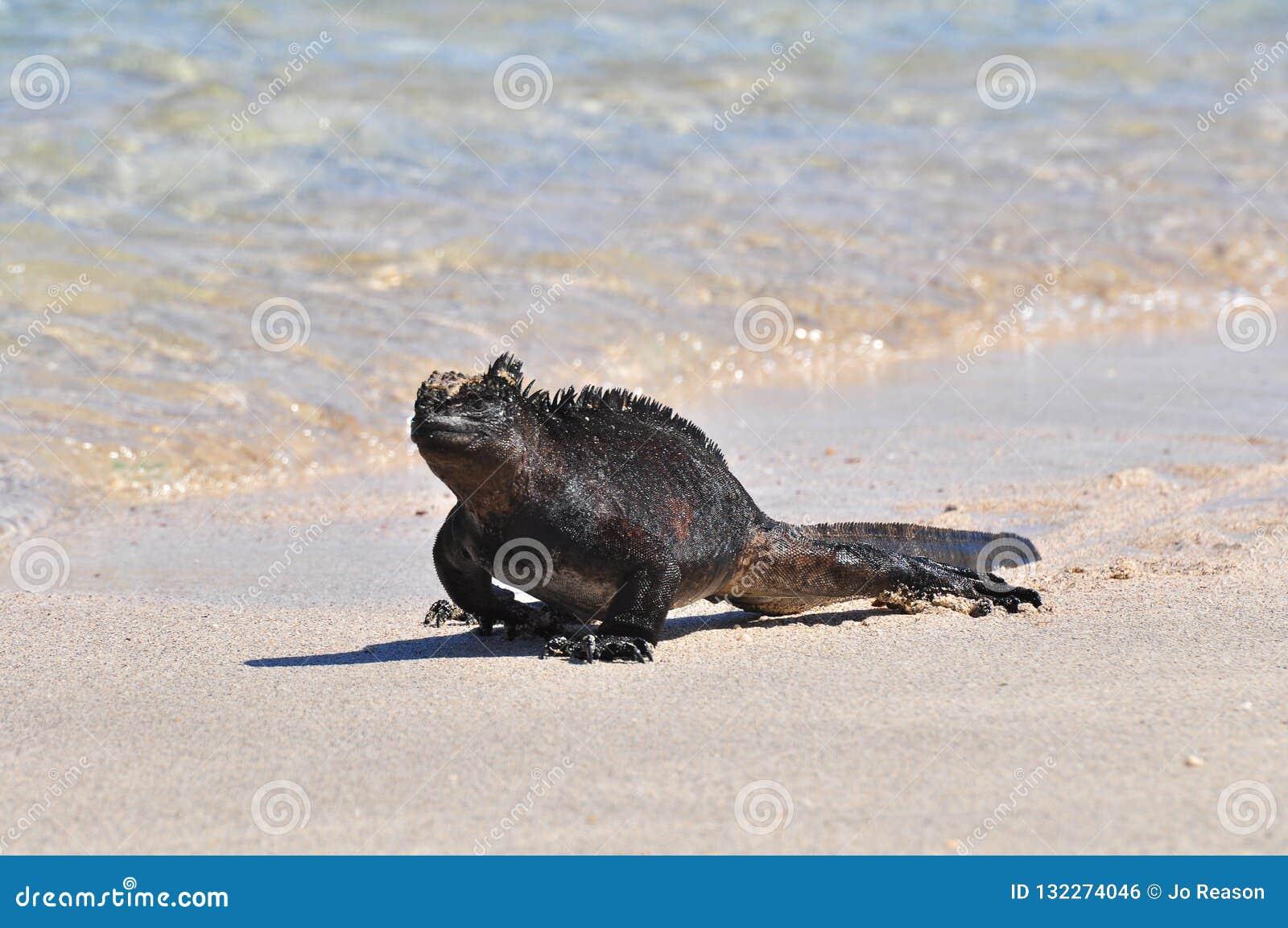Uma iguana marinha que anda na borda da água, Ilhas Galápagos, Equador
