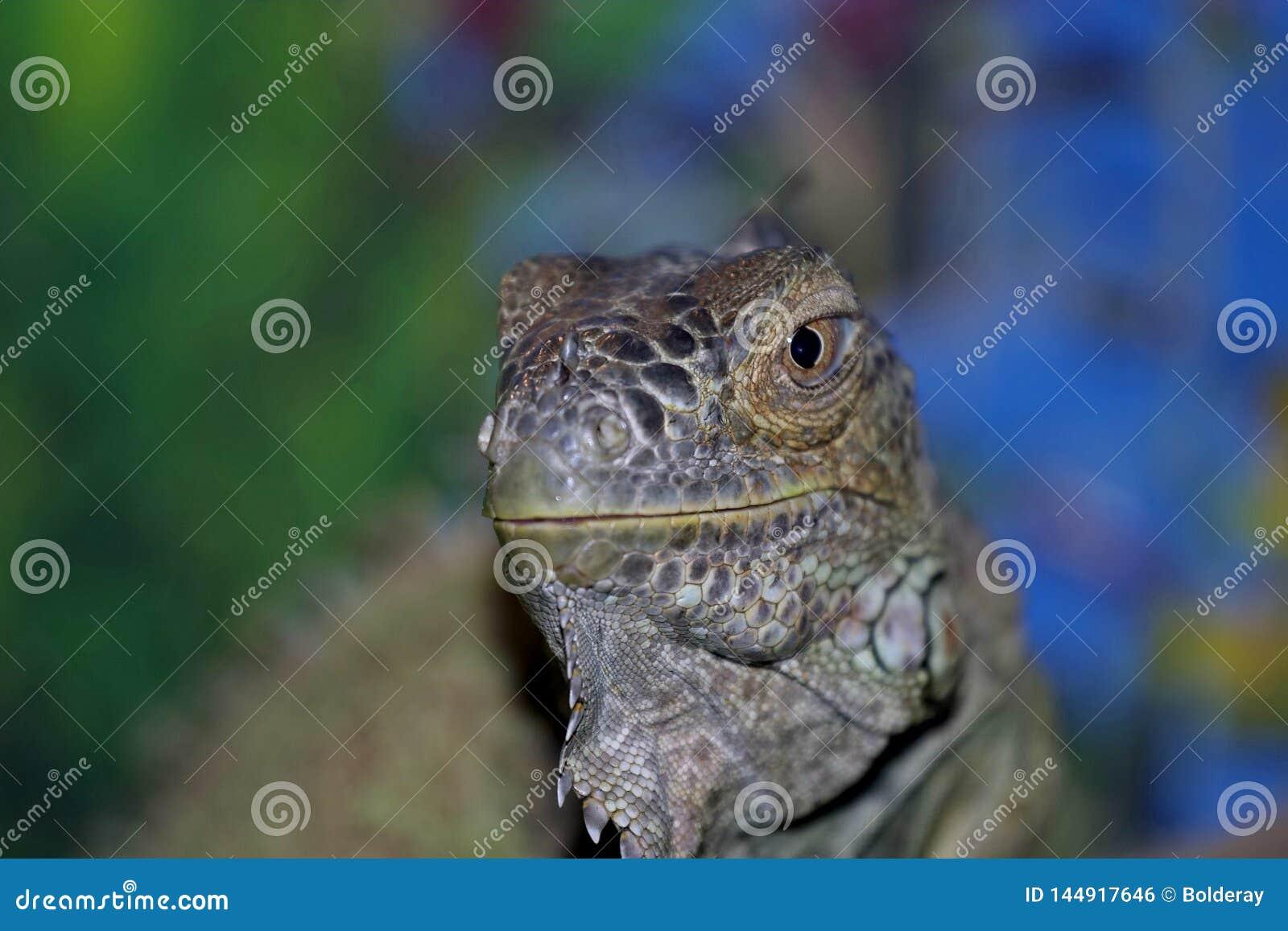 Uma iguana ordin?ria, ou uma iguana verde s?o um grande lagarto herb?voro, conduzindo uma vida arborizado di?ria Vive em Am?rica