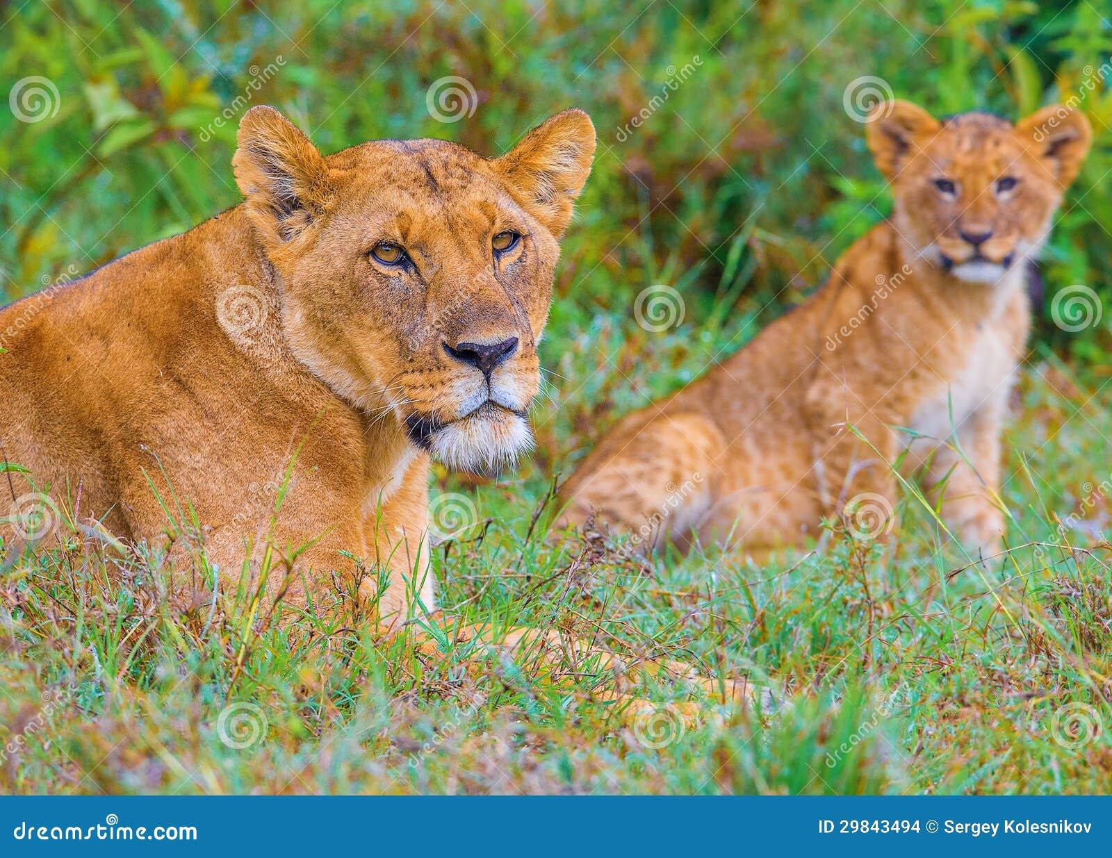 A família do leão