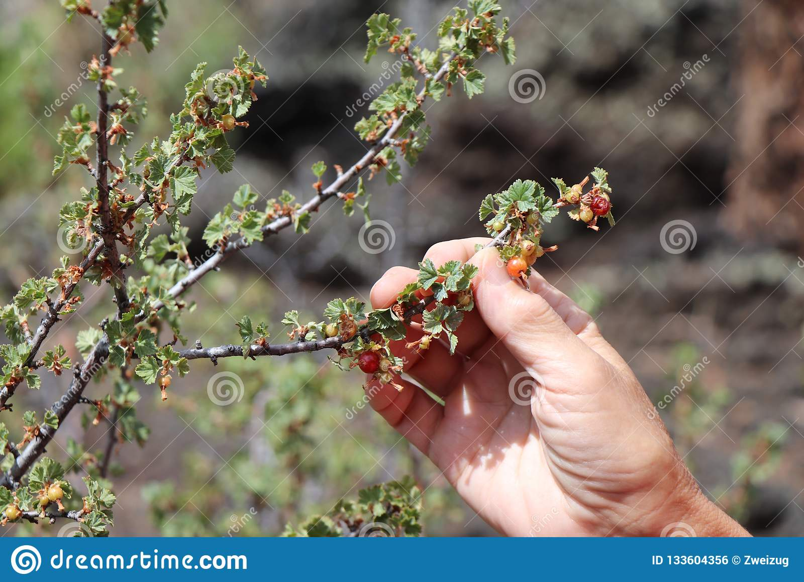 Uma mão que escolhe groselhas selvagens, máquina desbastadora do fruto