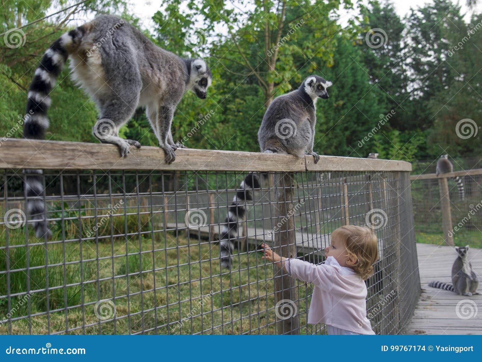 Uma menina no jardim zoológico quer tocar na cauda de um lêmure