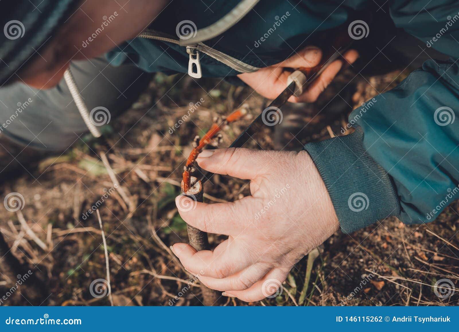 Uma mulher faz uma ?rvore de fruto no jardim e une um galho novo