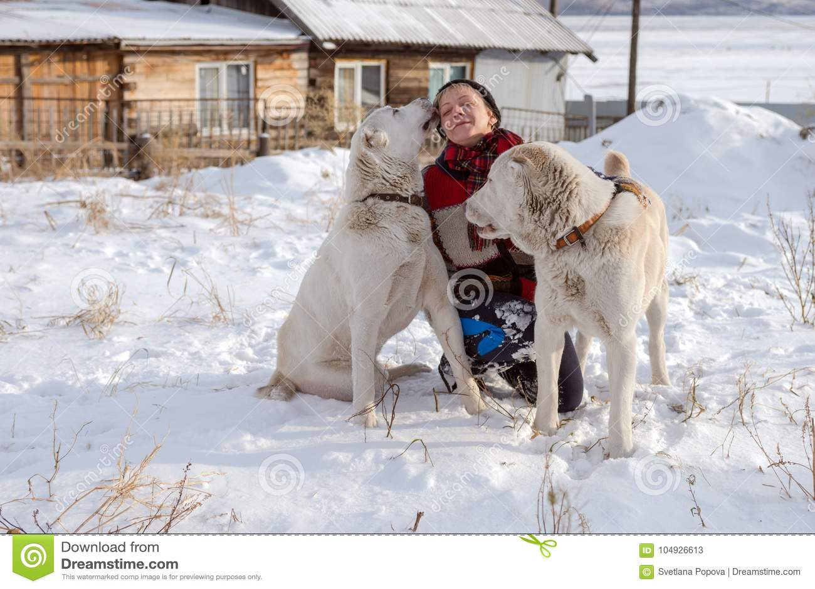 Uma mulher feliz está sentando-se com os dois pastores grandes na neve O cão lambe sua cara