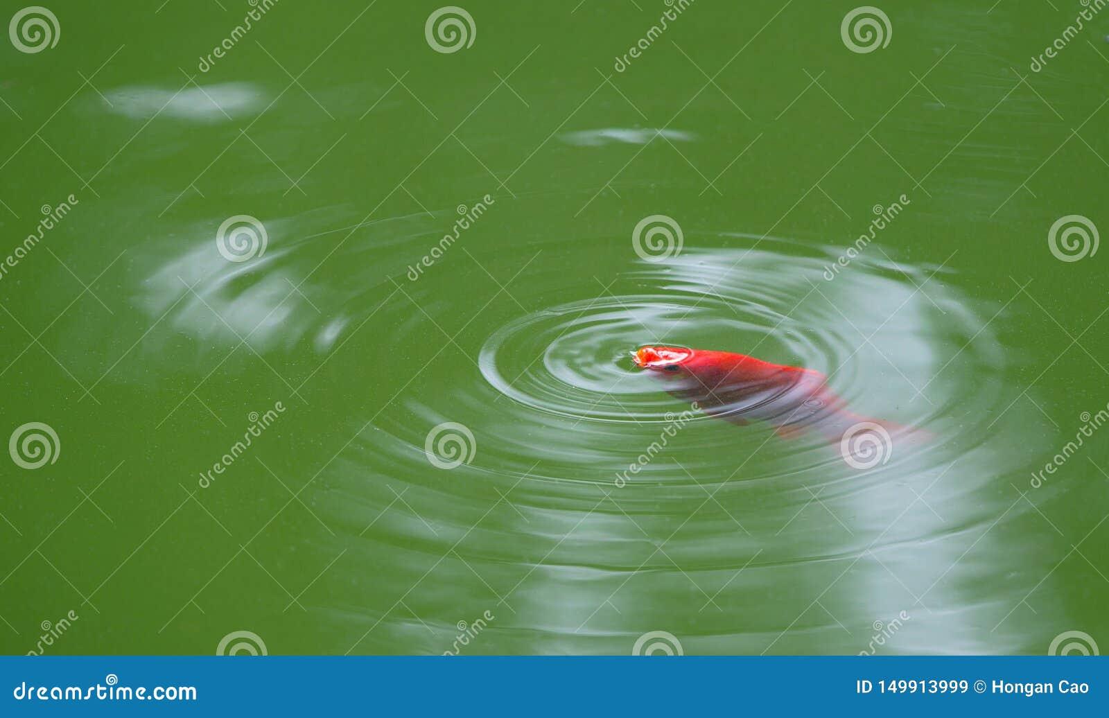Uma natação vermelha do calamar