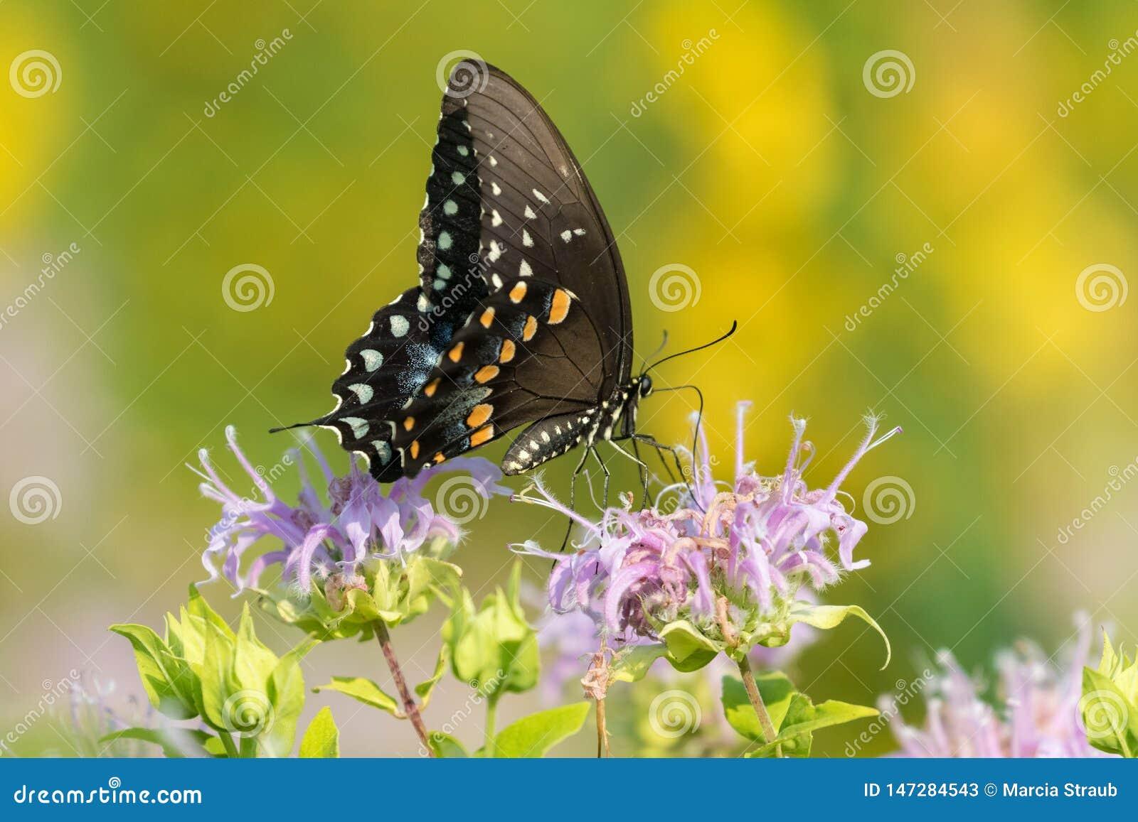 Uma opini?o lateral a borboleta de Swallowtail empoleirada em Wildflowers cor-de-rosa