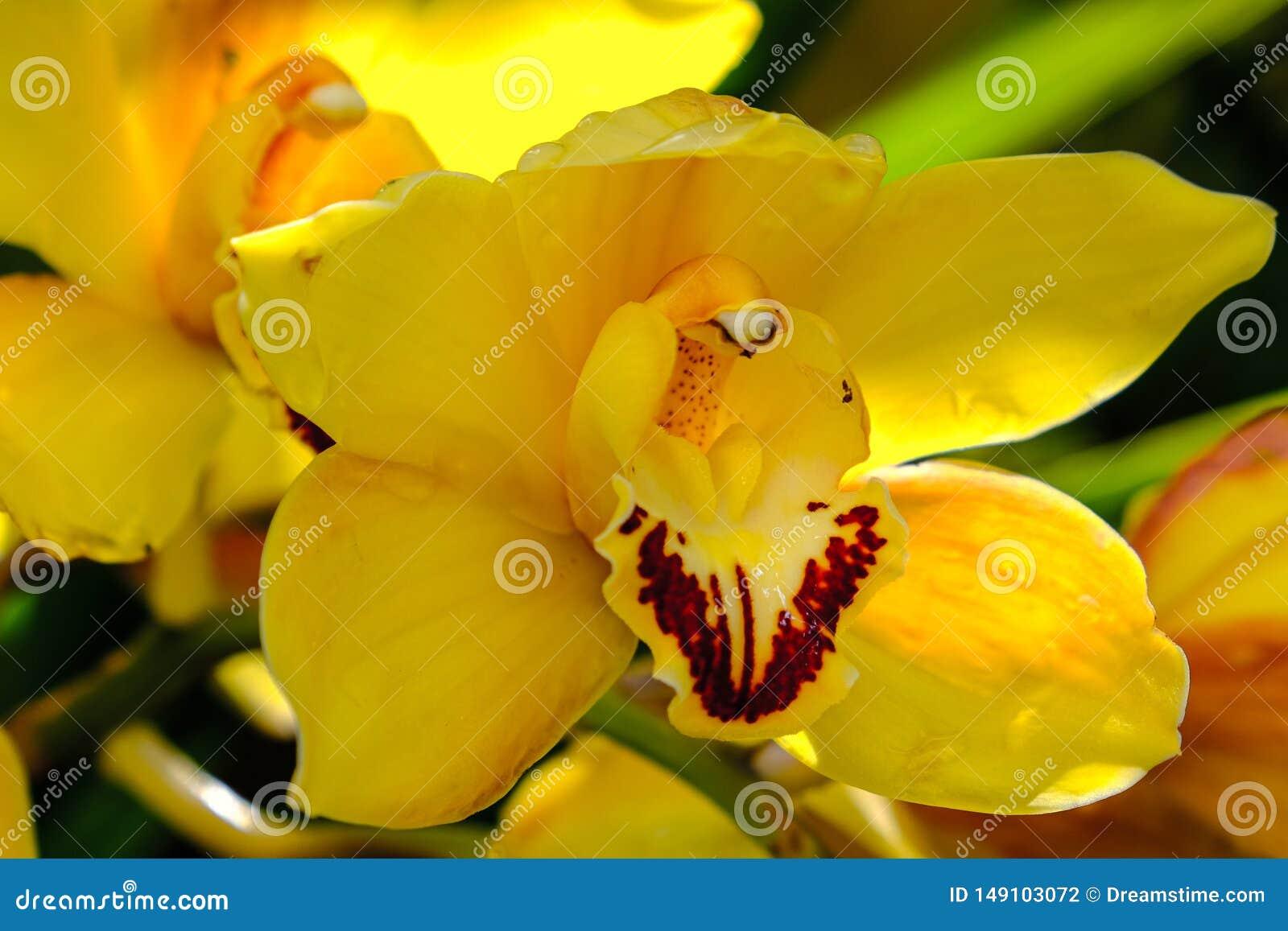 Uma orqu?dea amarela isolada no jardim