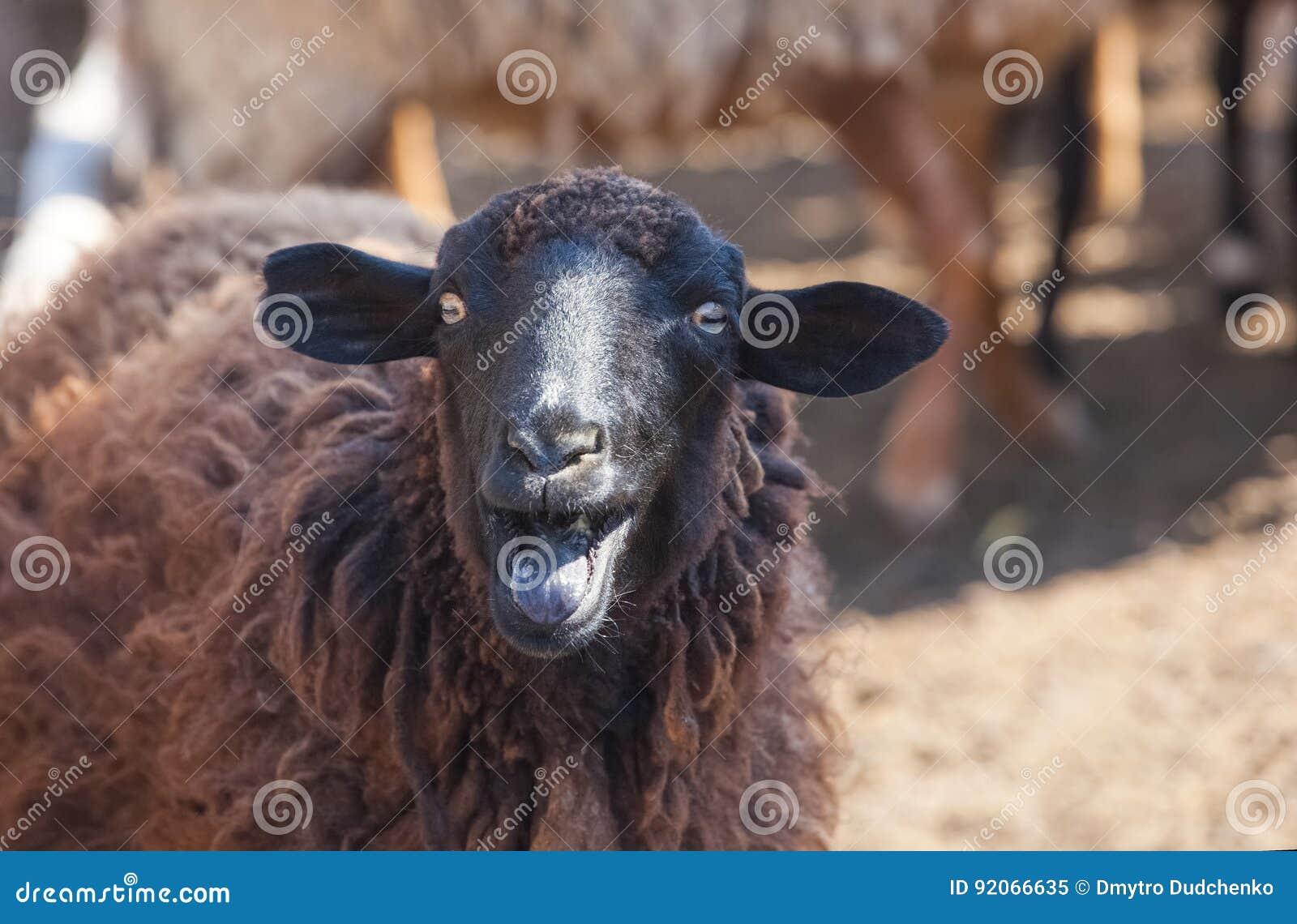 Uma ovelha negra mostra a língua em um prado