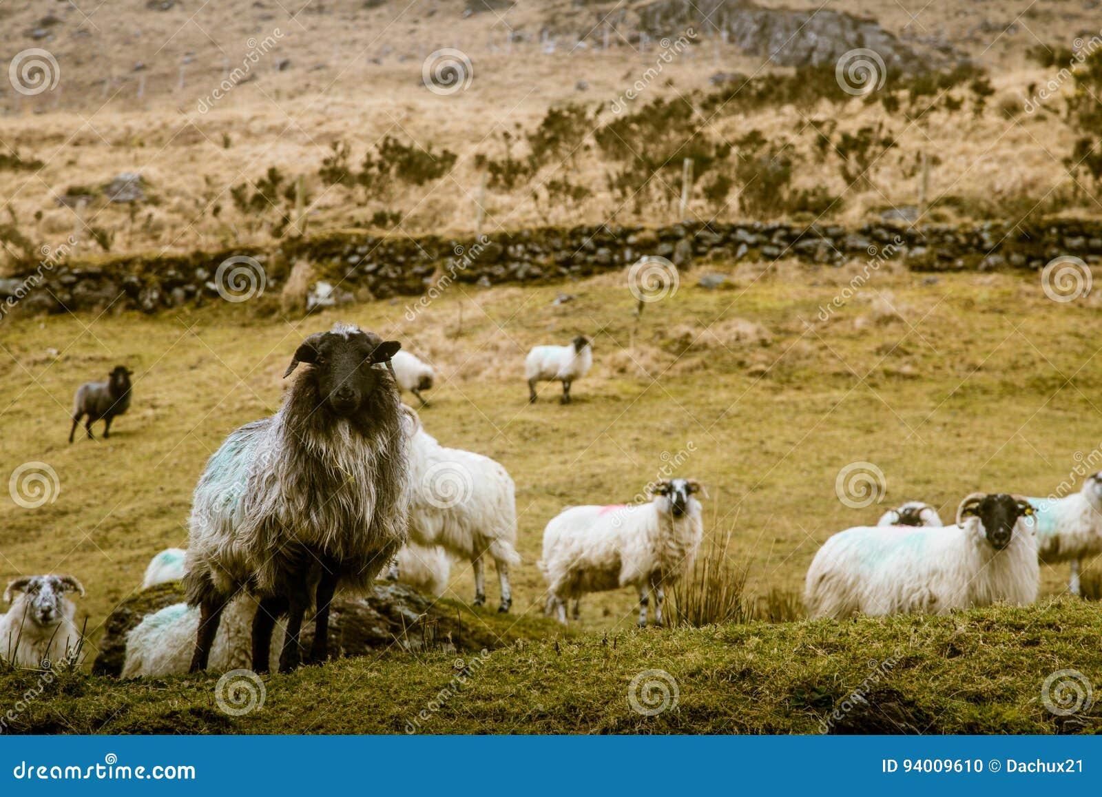 Uma paisagem irlandesa bonita da montanha na mola com carneiros