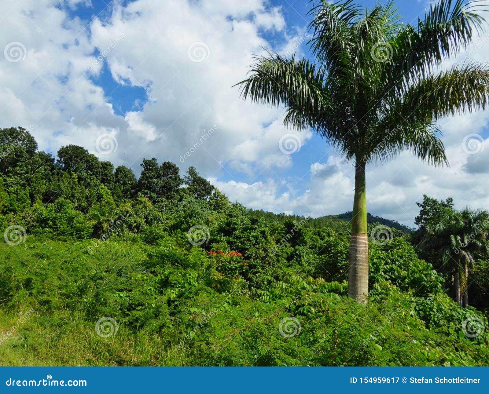 Uma palma grande na selva