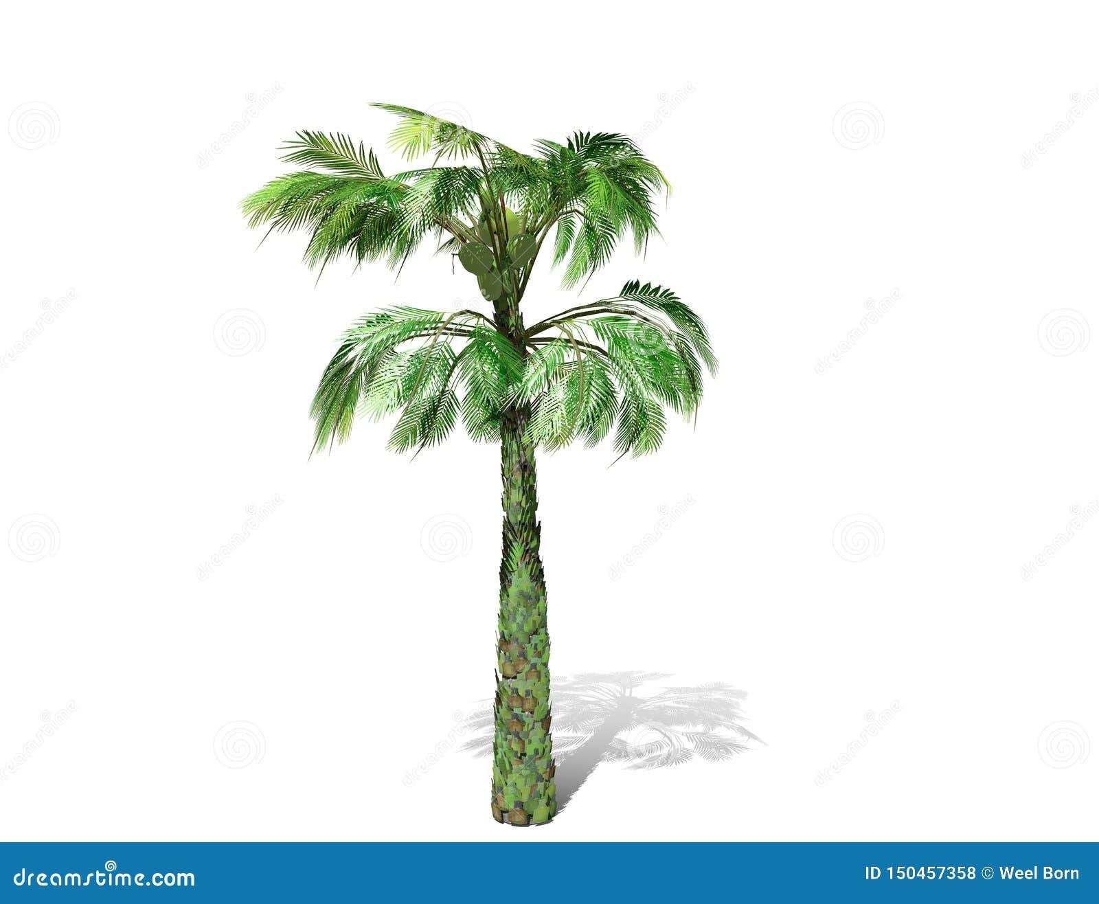 Uma palmeira alta isolada sobre um fundo branco