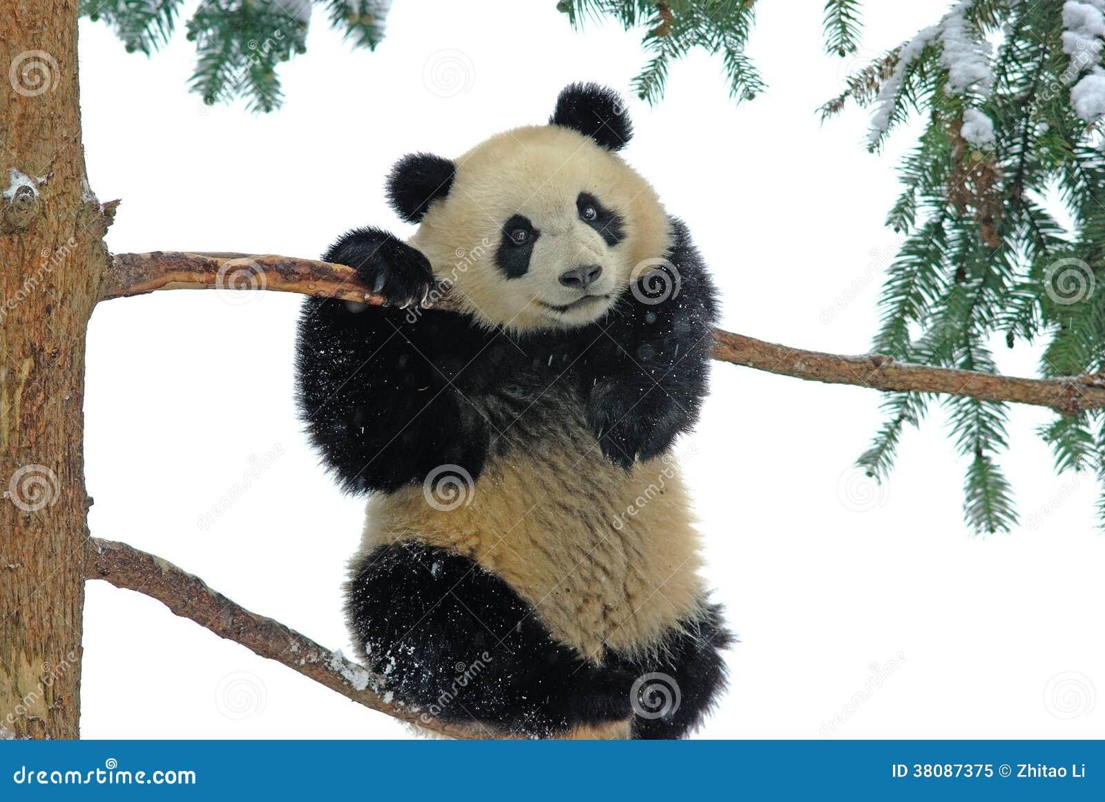 Uma panda do bebê está jogando na árvore no bifengxia